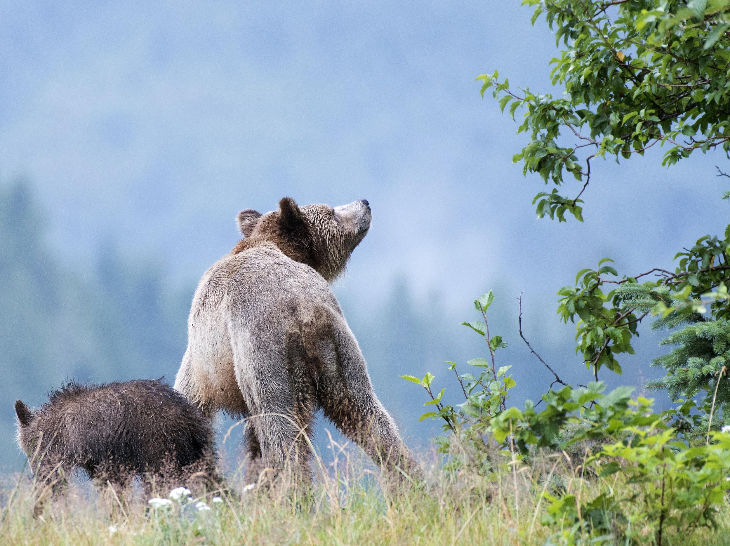 Momma bear smells for threats.jpg