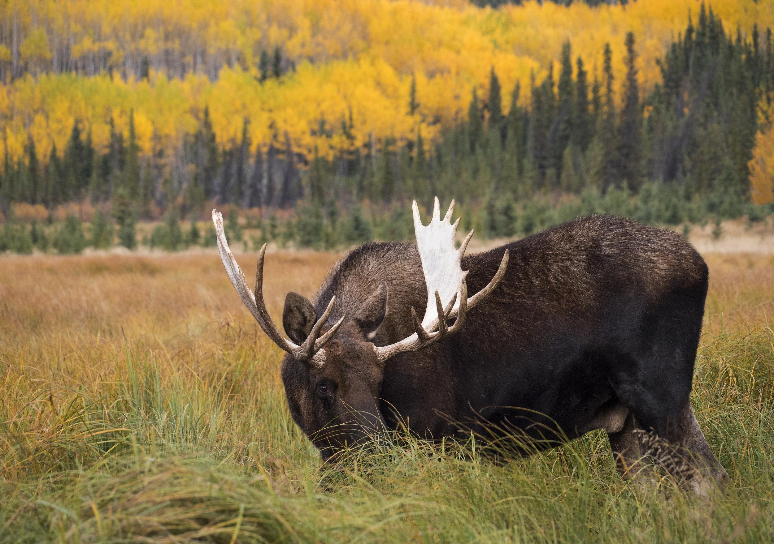 Fall colour moose GX8.jpg