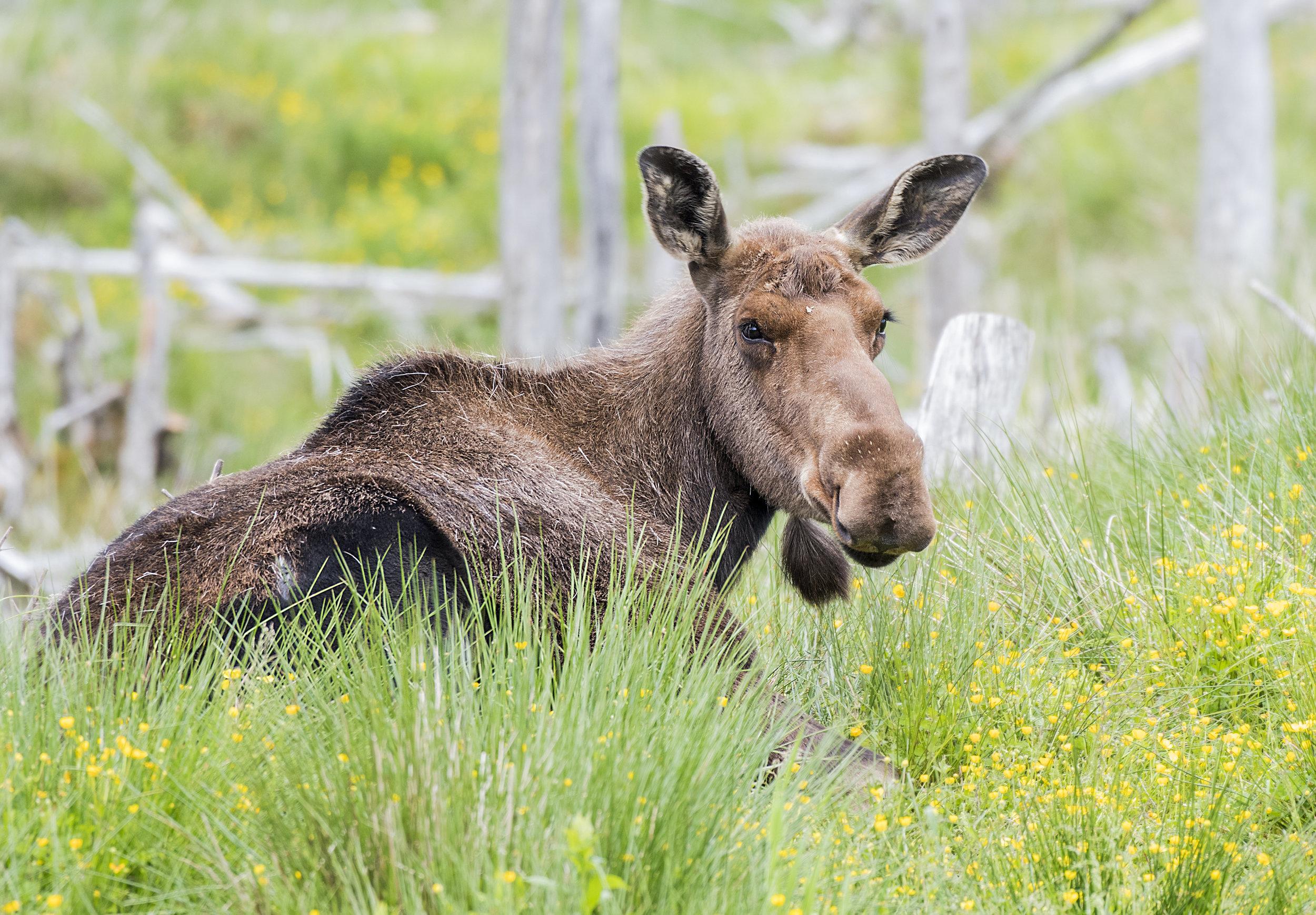 female moose.jpg