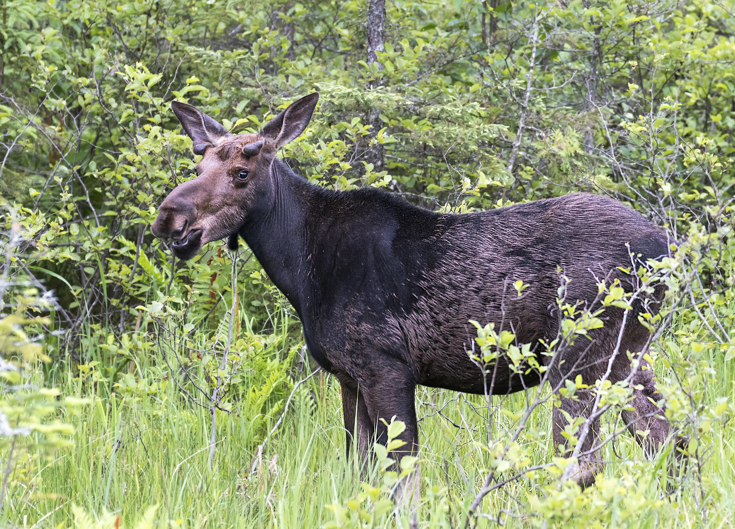 Happy Moose.jpg