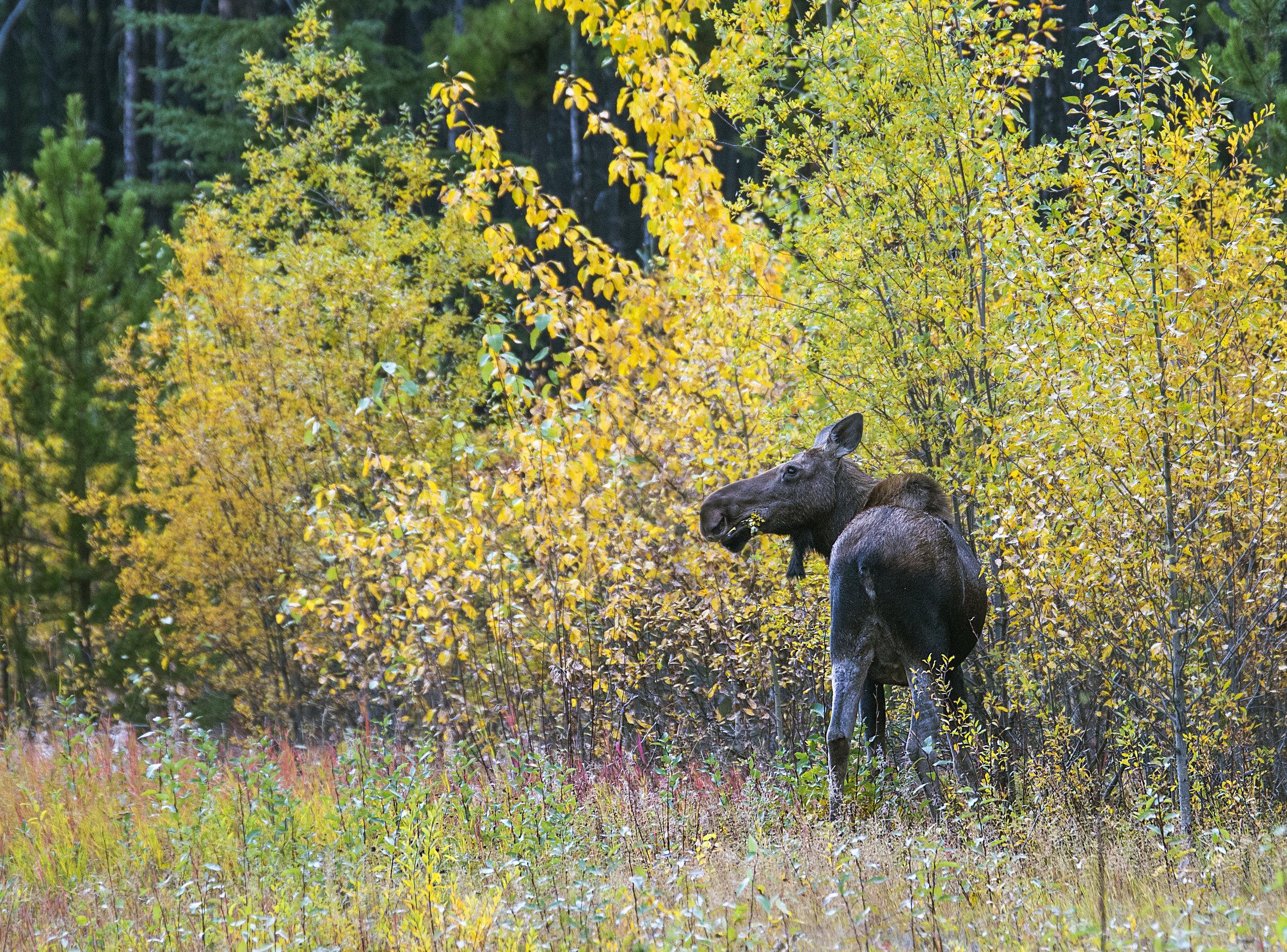 Moose eating dinner bc .jpg