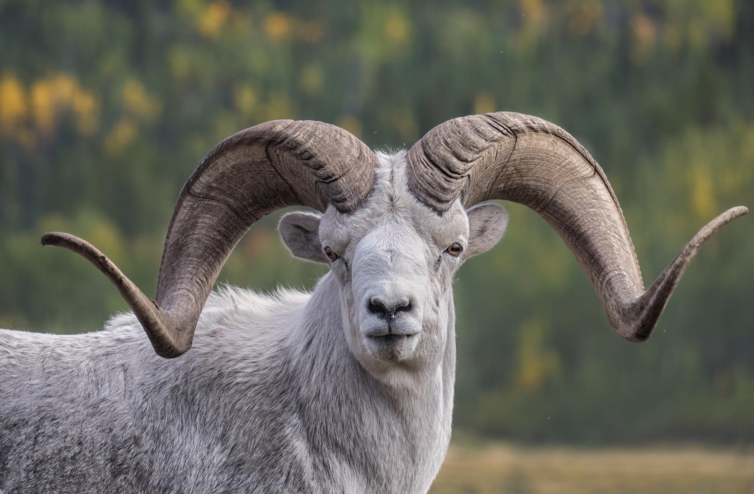Dall Sheep Straight on.jpg
