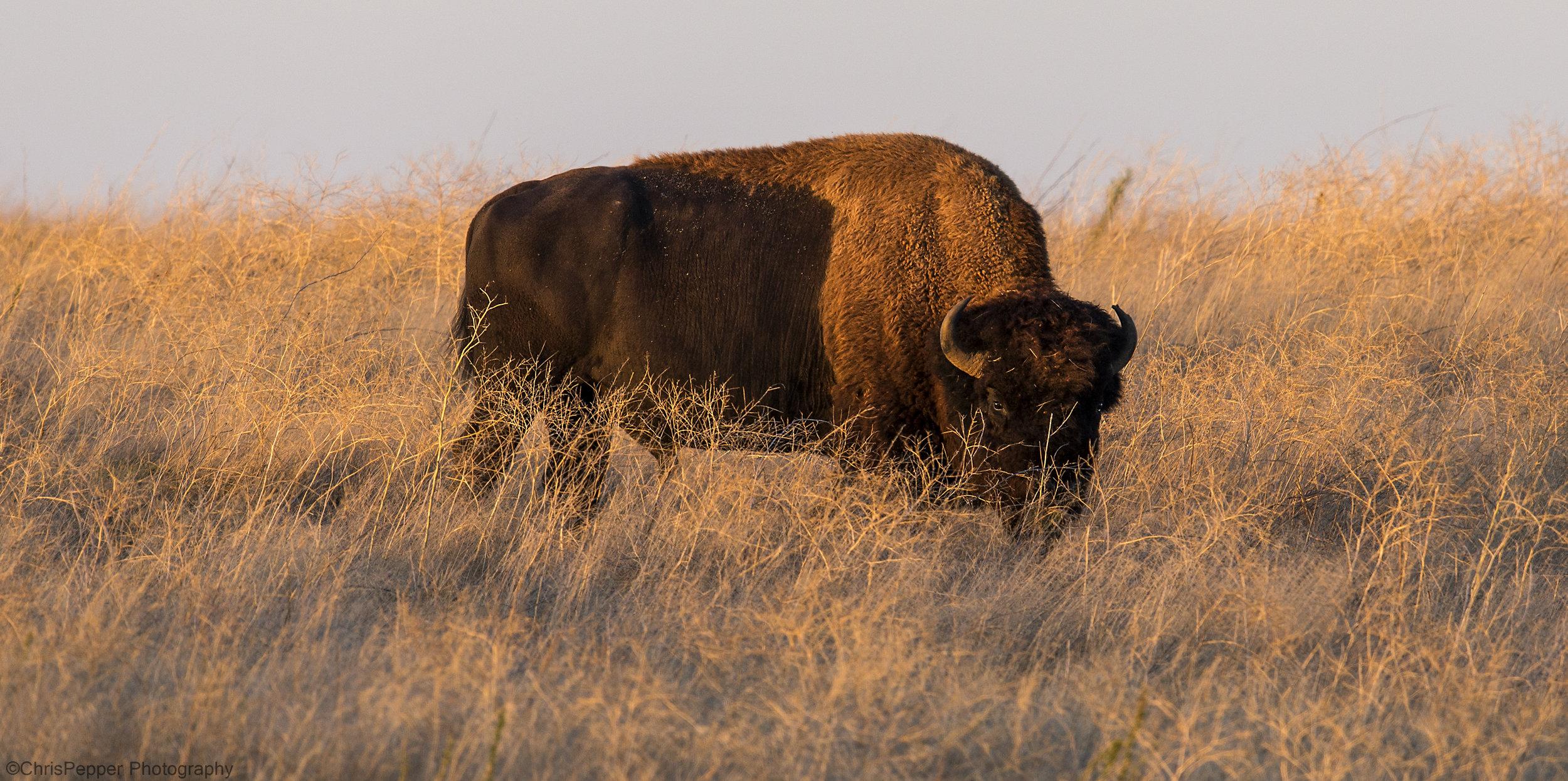 Low light Bison.jpg