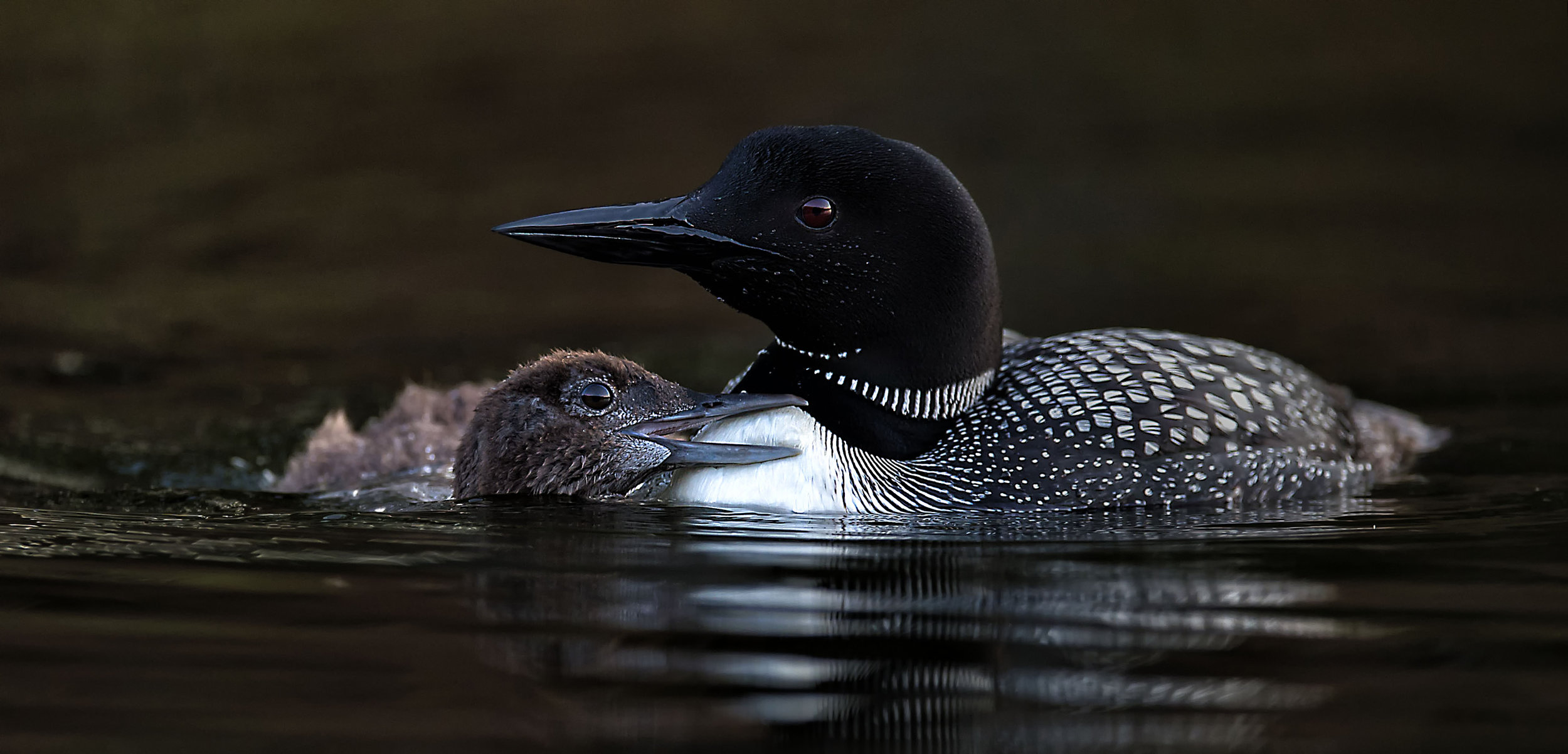 Mother loon and her chick by Kevin K Pepper