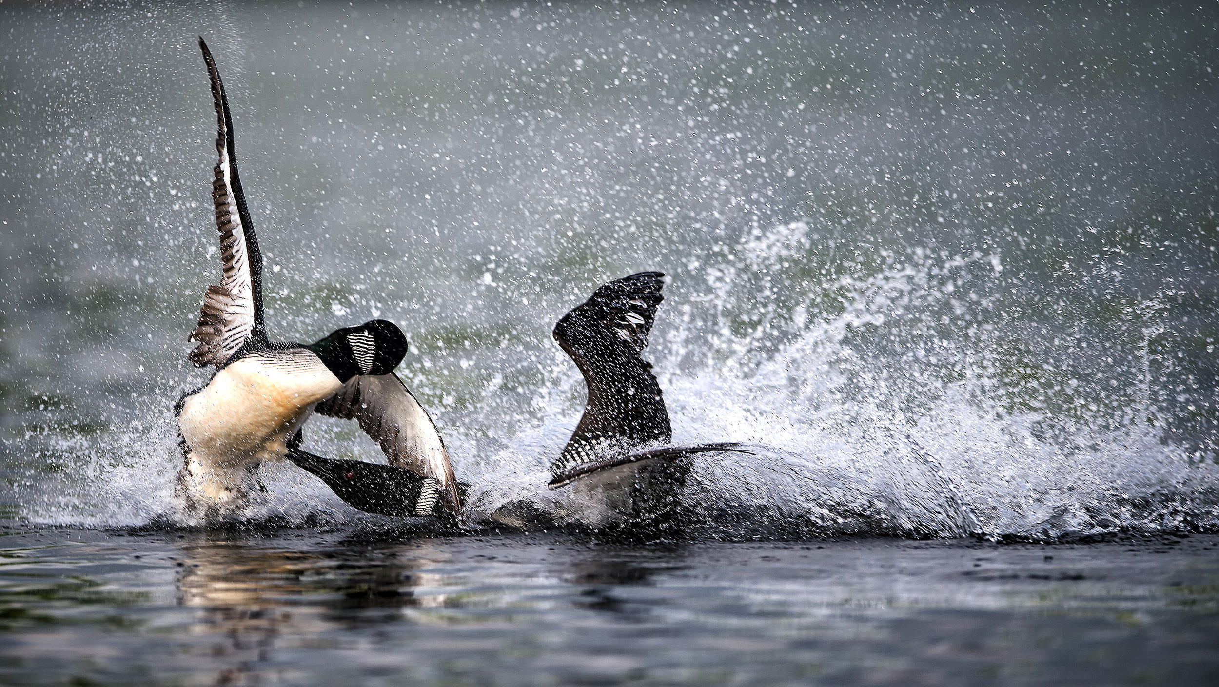 Battle of the loon by Kevin K Pepper