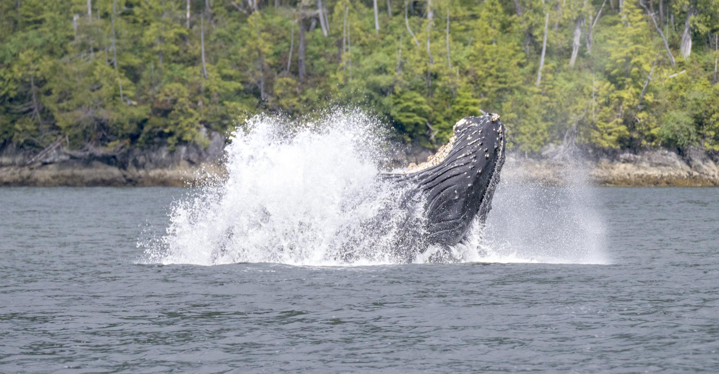 humpback bubble feed .jpg
