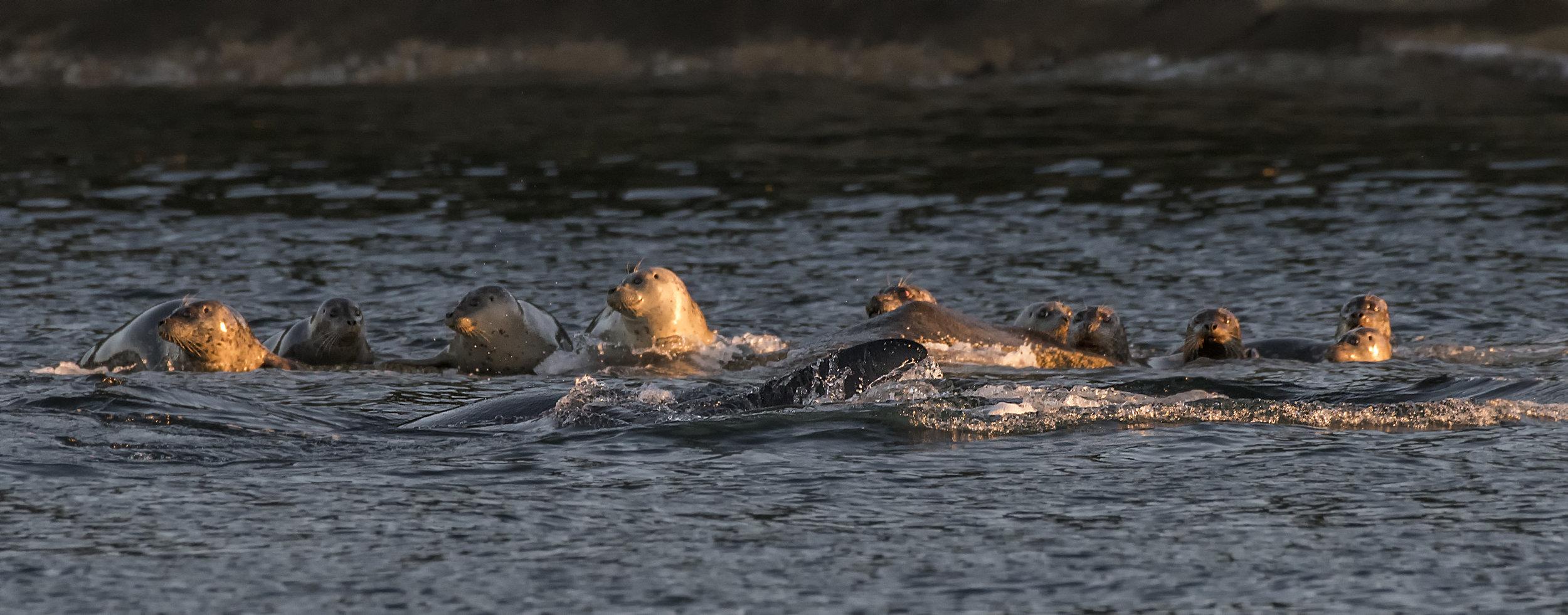 Orca Seal hunt.jpg