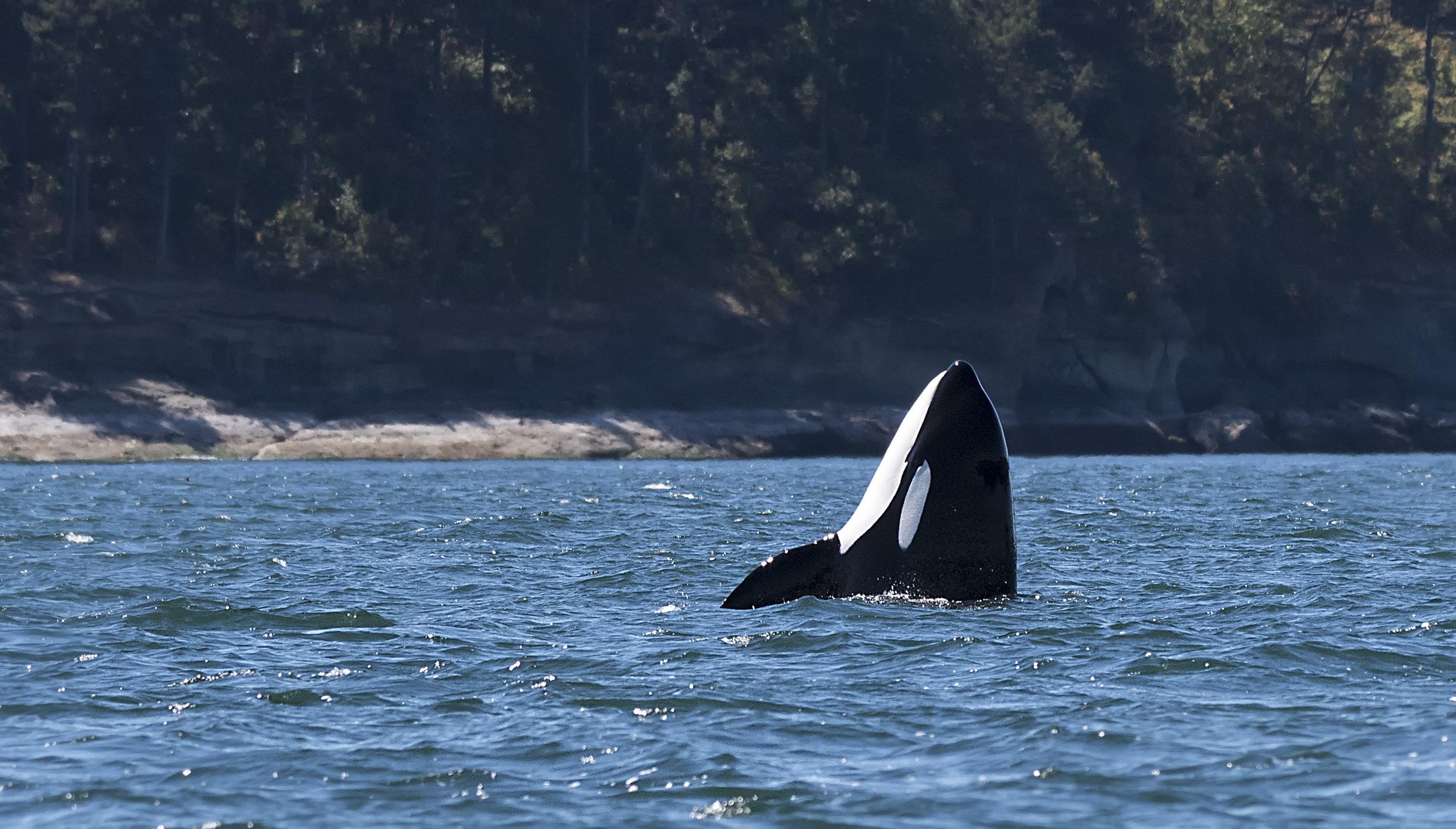 orca spyhop2.jpg