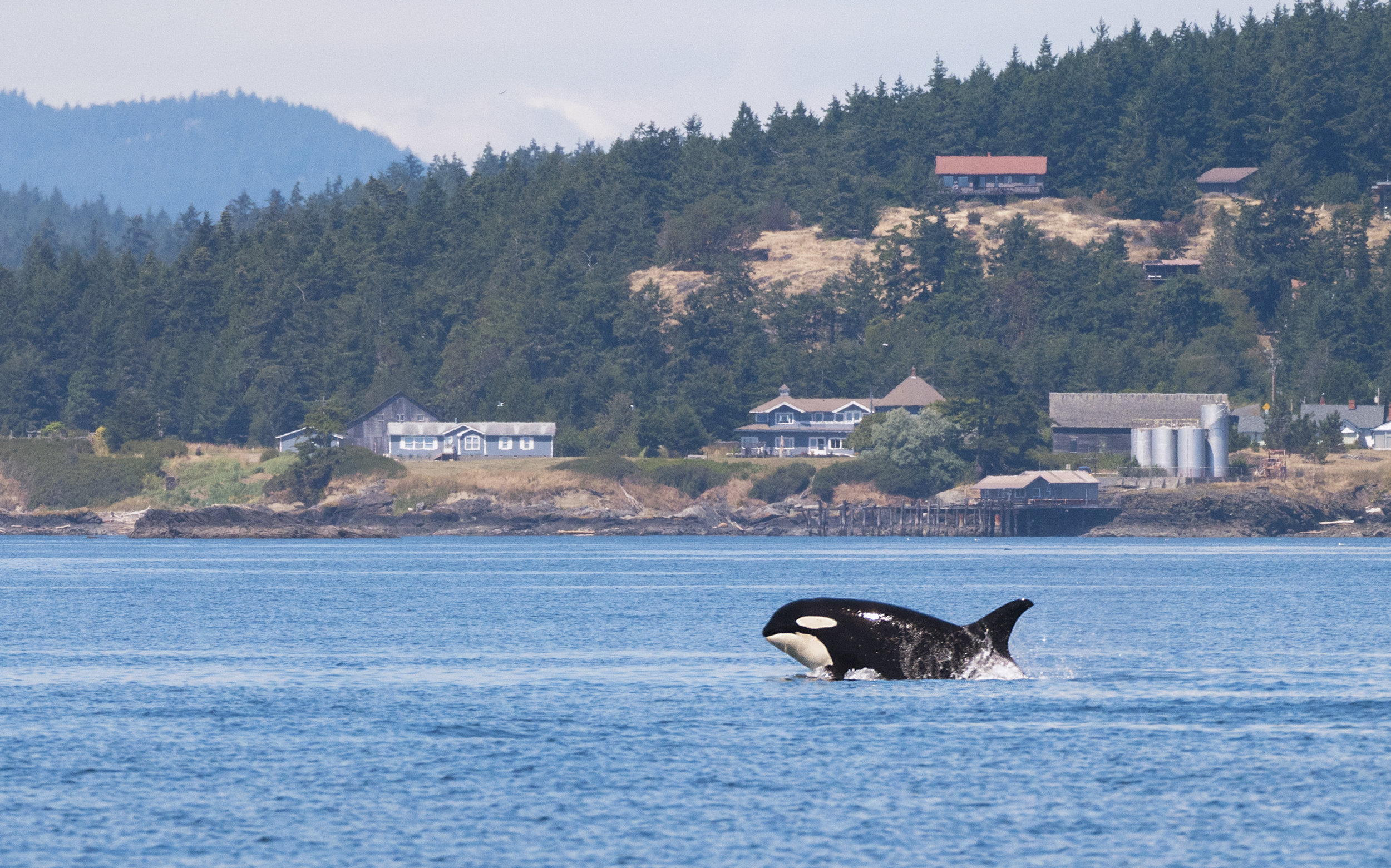 Orca in Vancouver.jpg