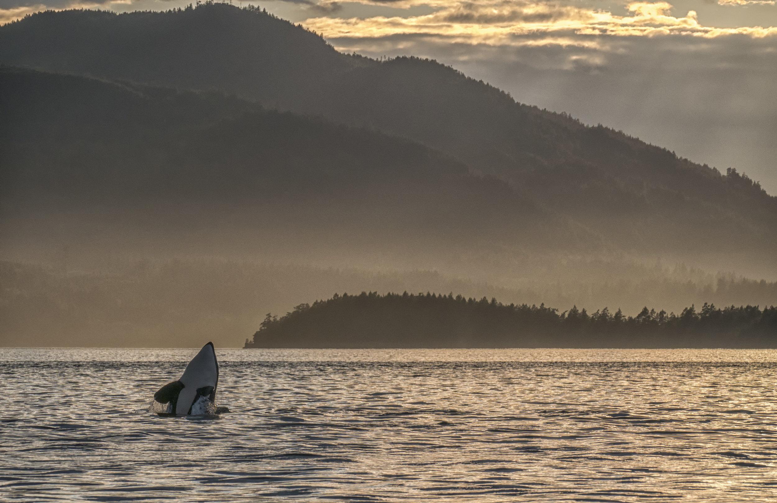 Orca spy hop.jpg