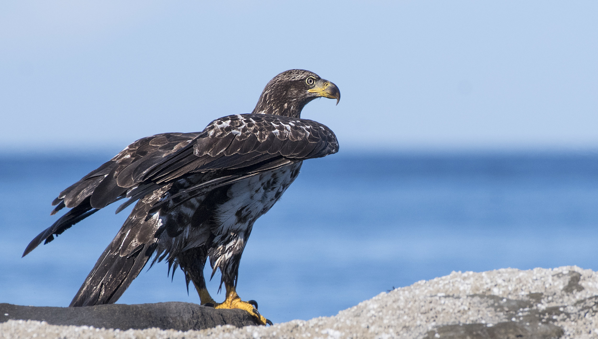 close up J eagle BC .jpg