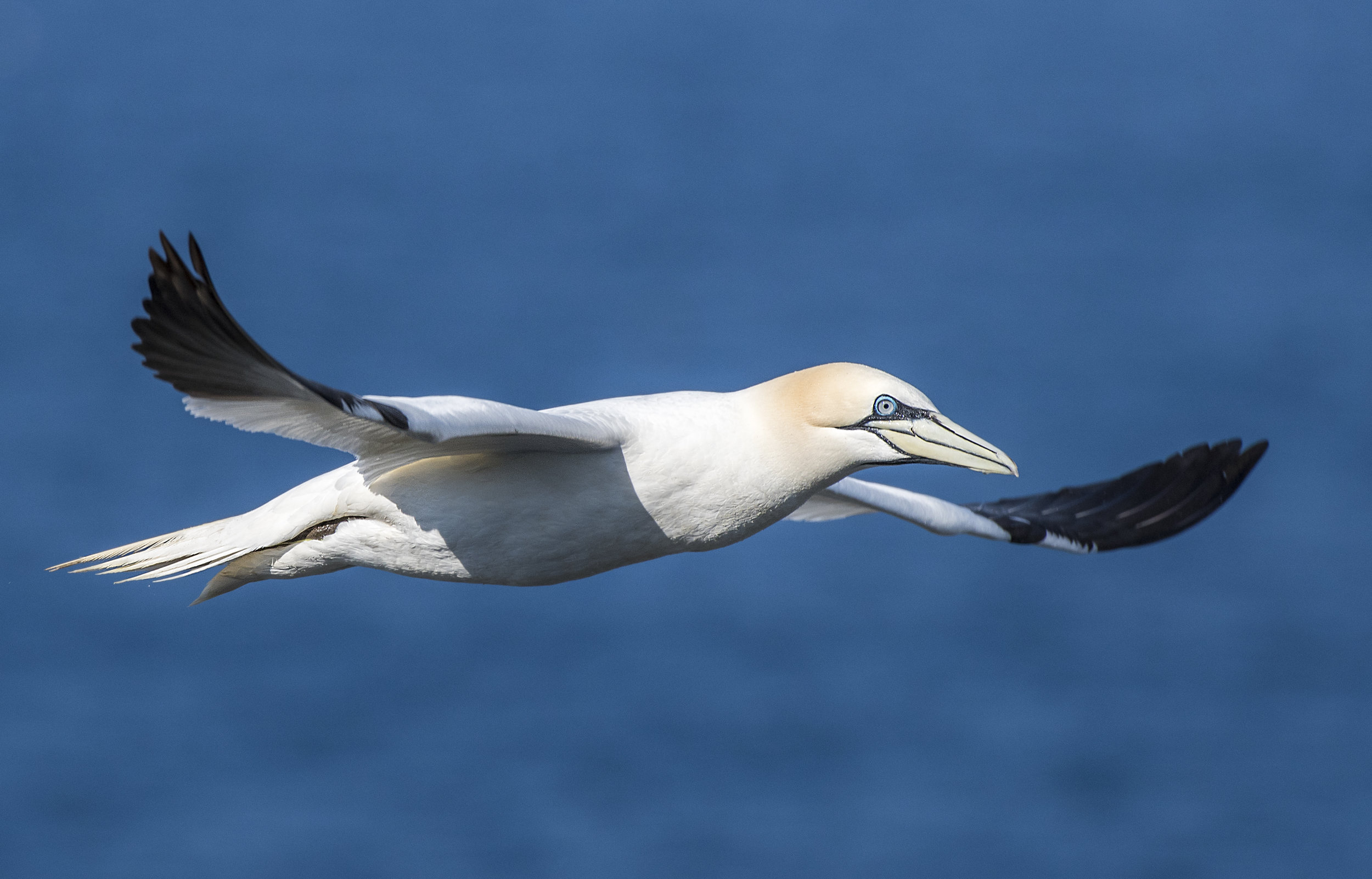 Northern Gannet flyby in Newfoundland By Chris Pepper