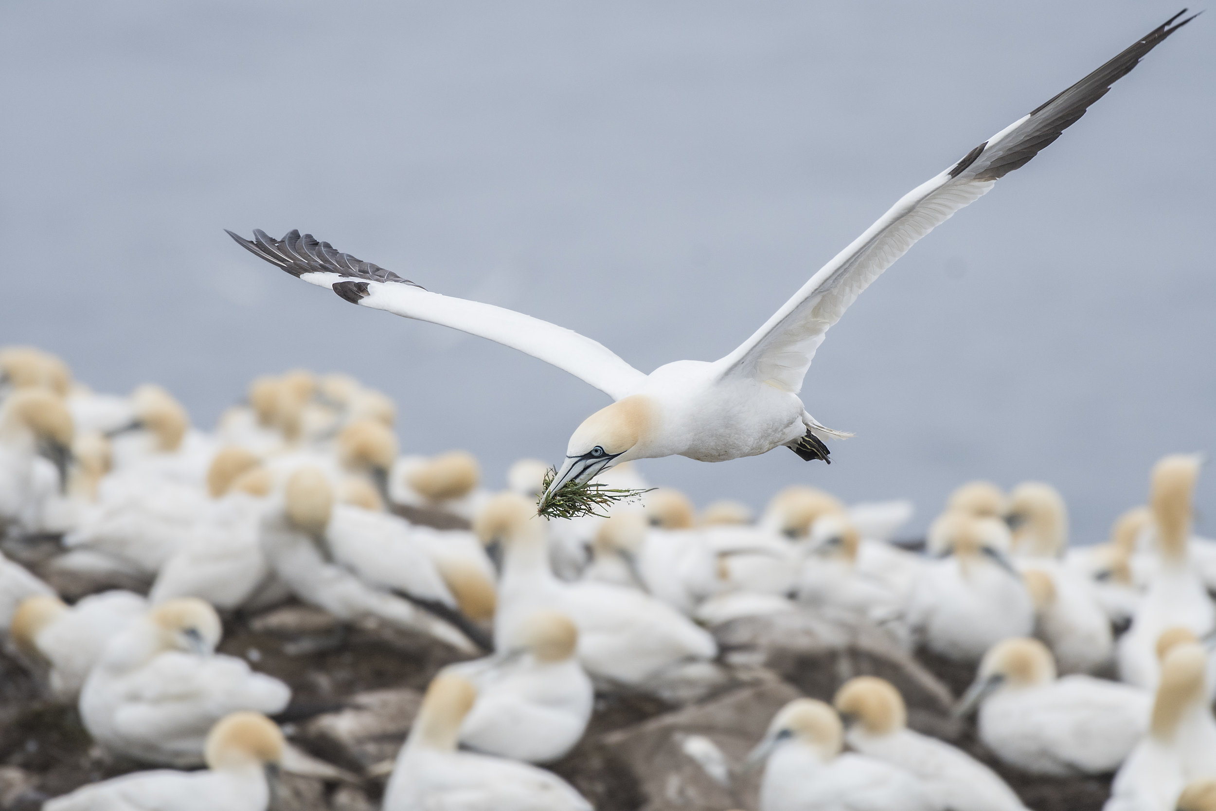 Northern Gannet with nesting material by Chris Pepper