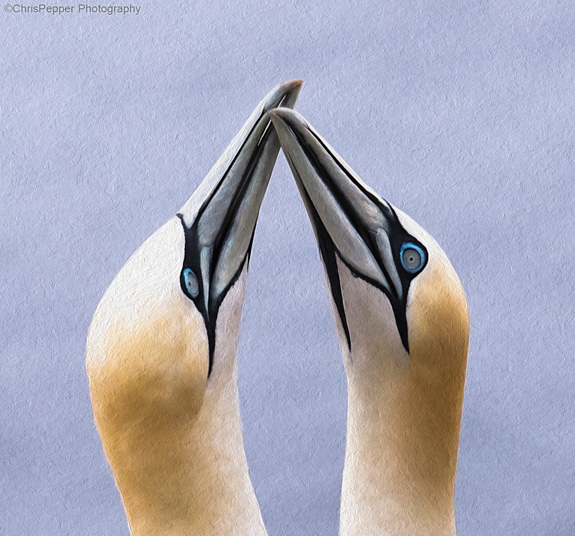 Northern Gannets Loving affection by Chris Pepper