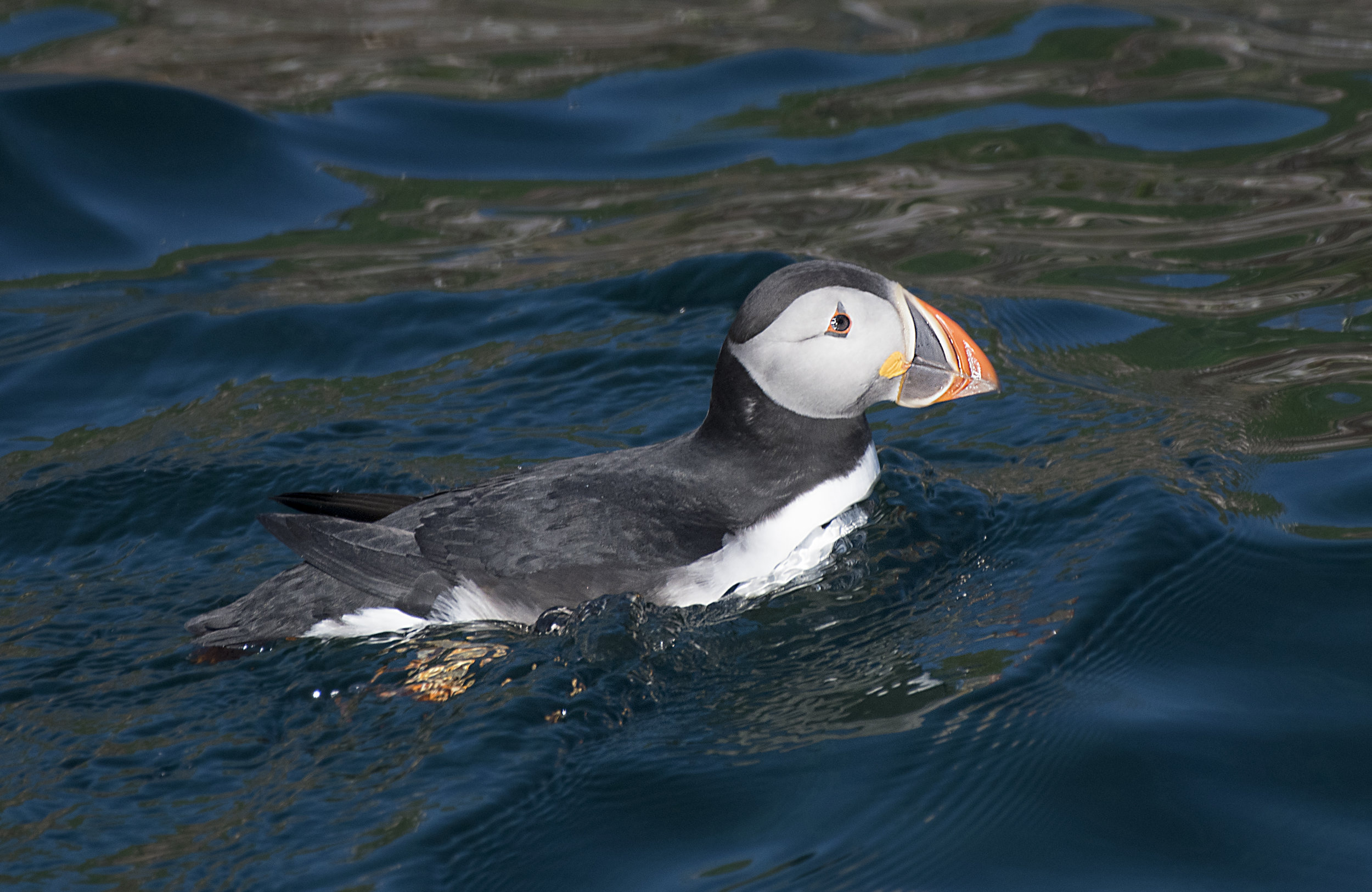 Puffin in the water by Chris Pepper
