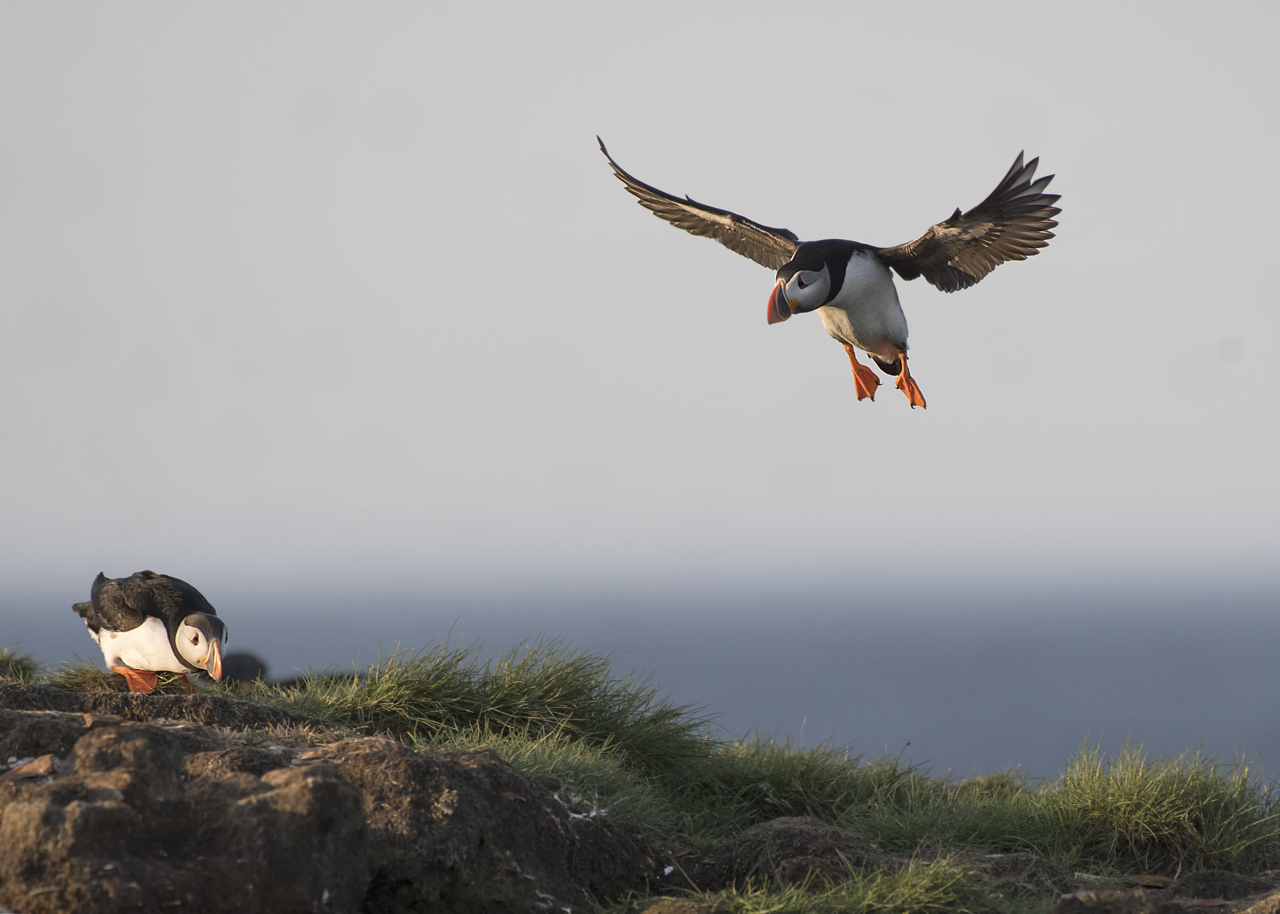 Puffin landing by Chris Pepper