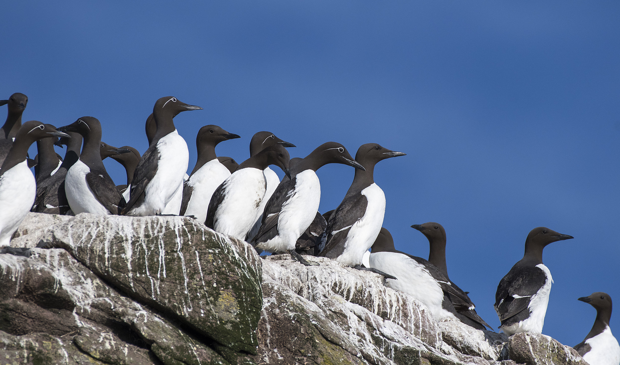 The gang of Murres by Chris Pepper