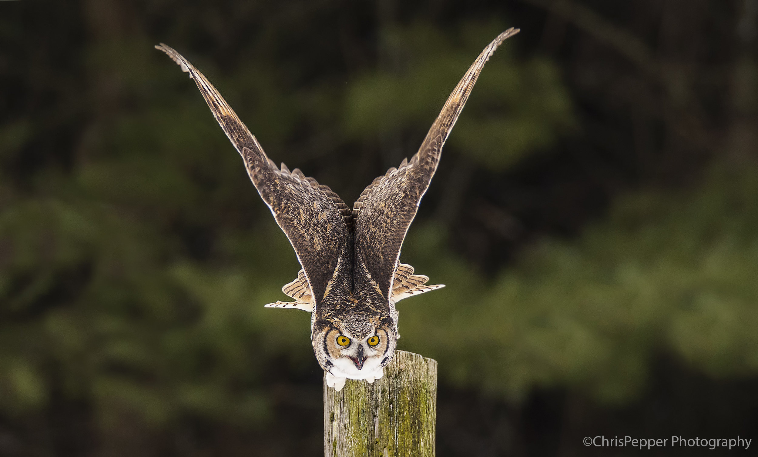 Great horned owl launching off a post