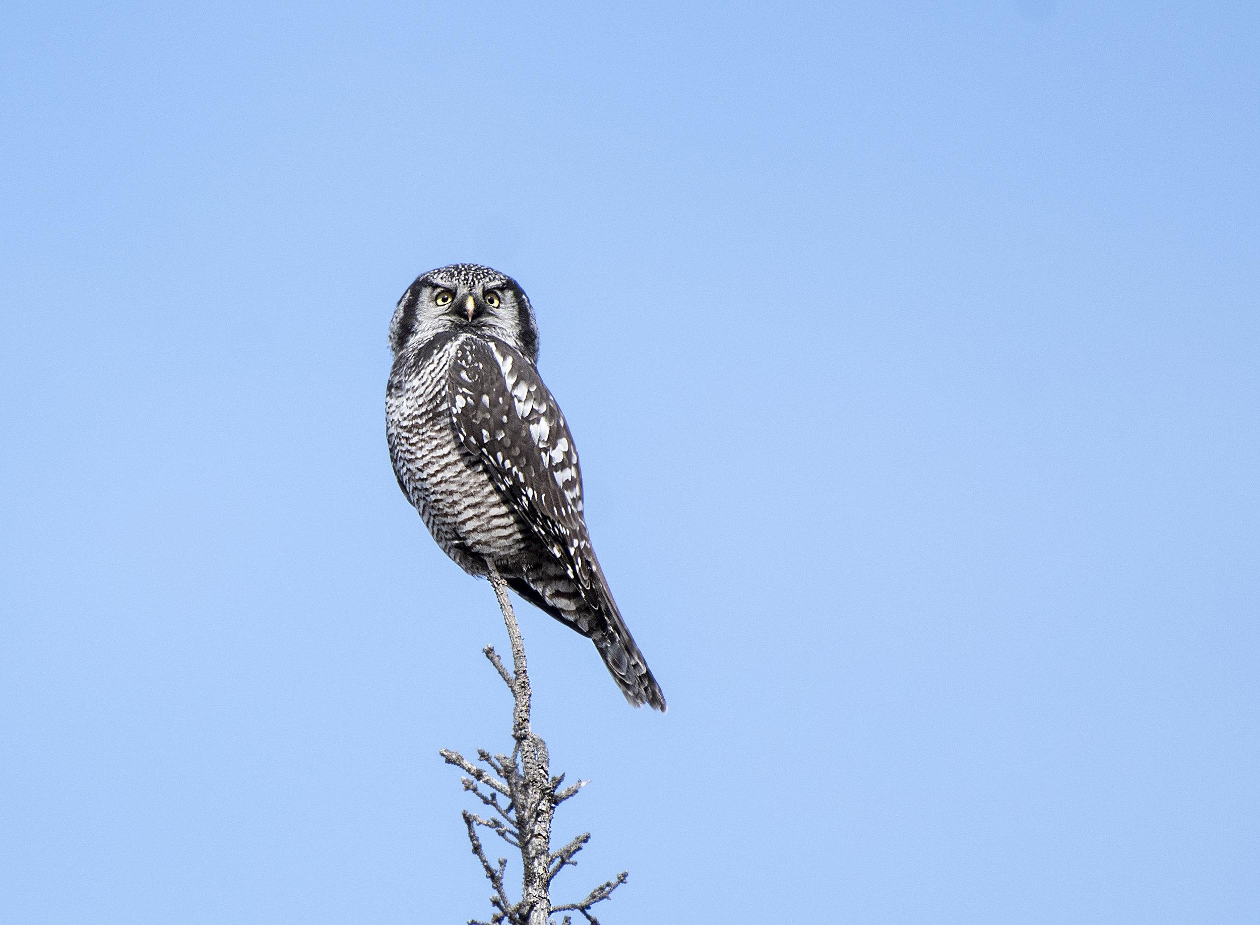 Northern hawk owl photo tours