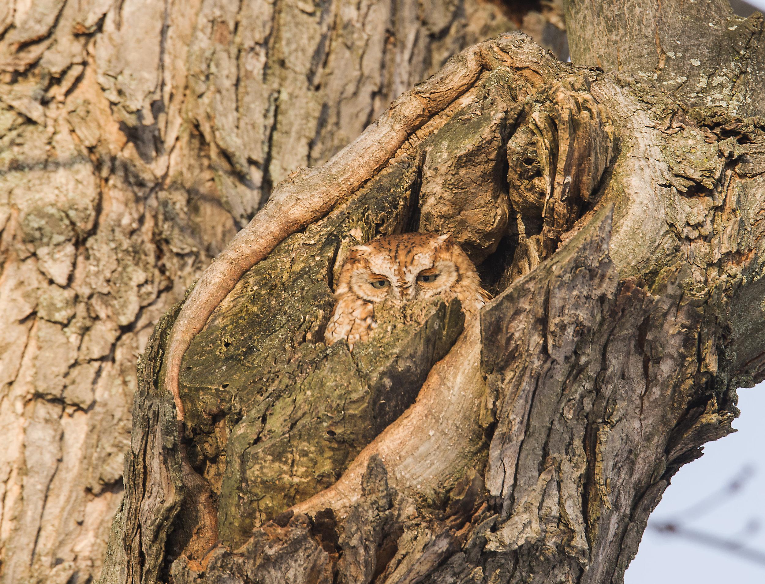 small owl photo tours in Ontario
