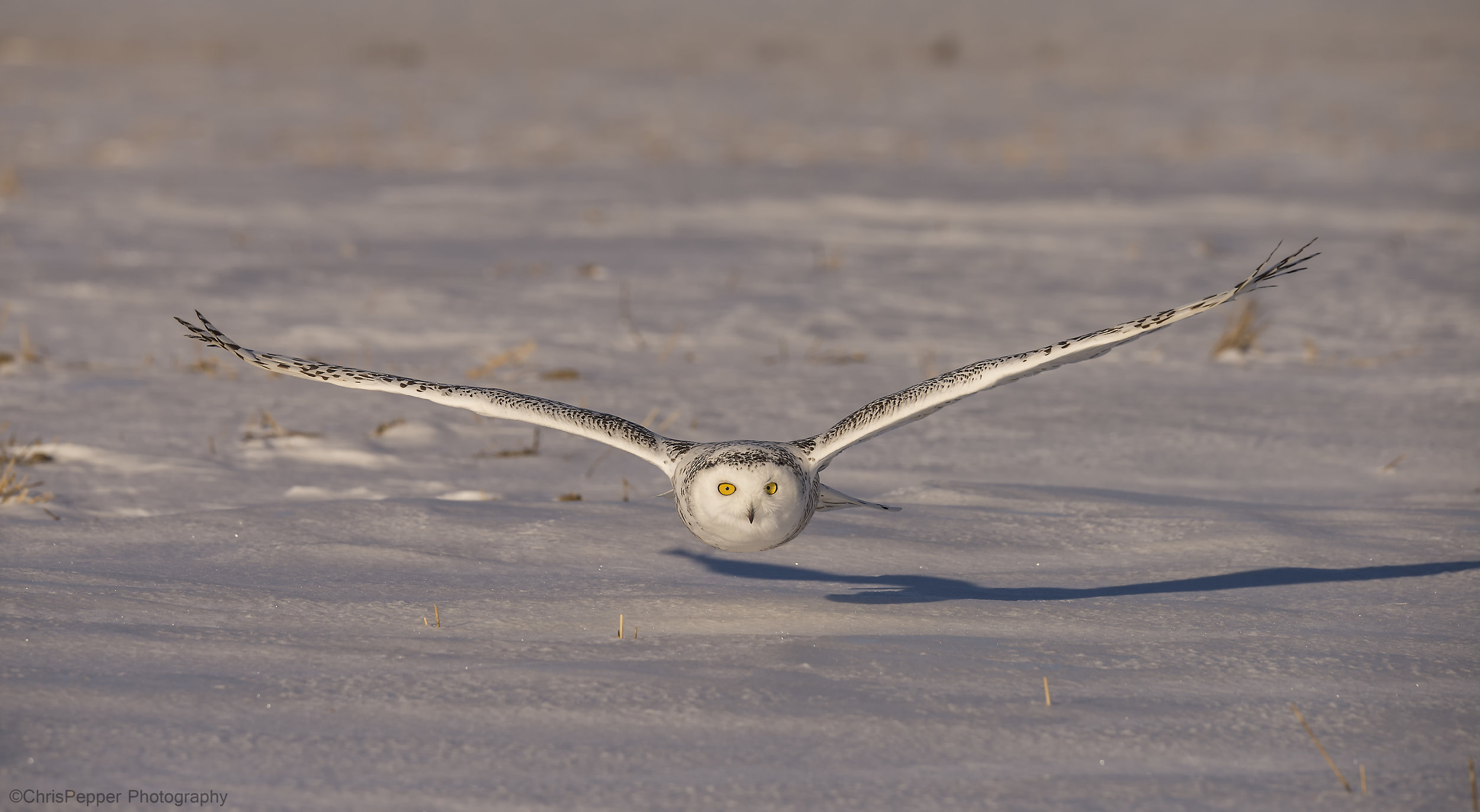 Snowy owl photo tours in Canada