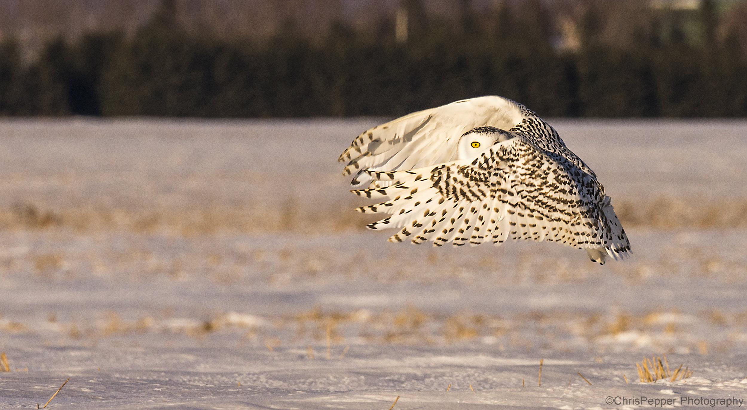 Peek a boo snowy owl photo workshops