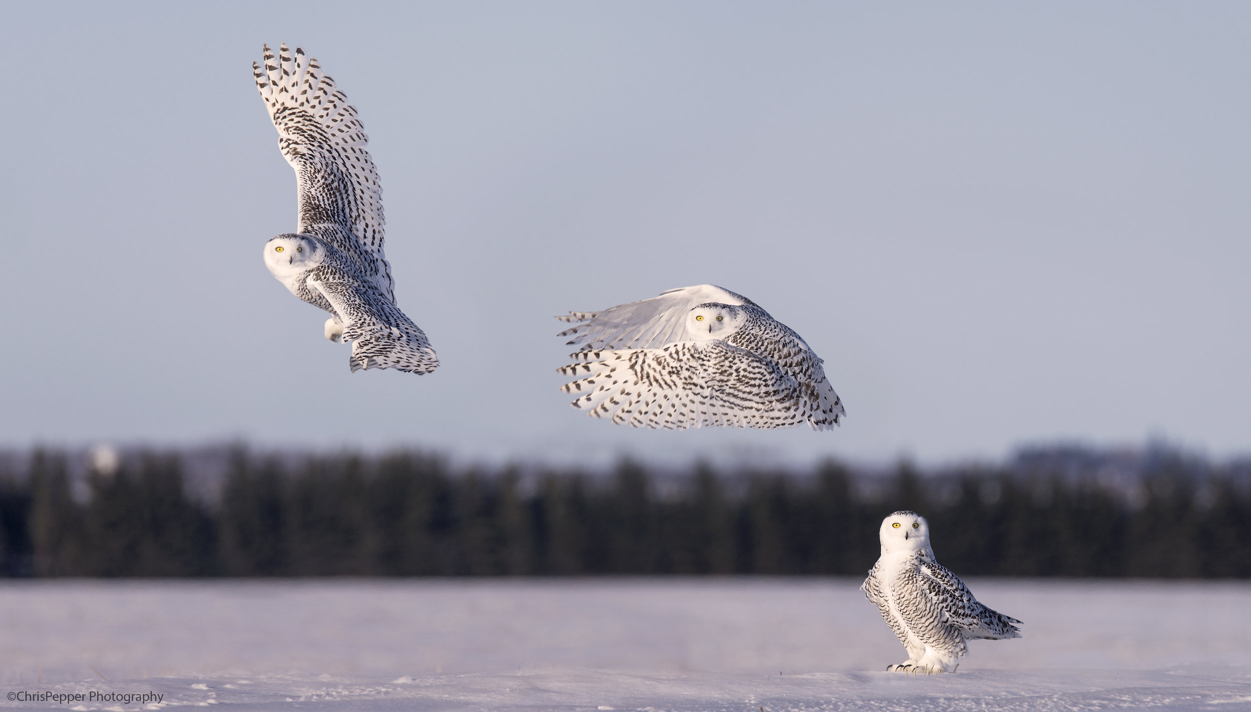 snowy owl take off