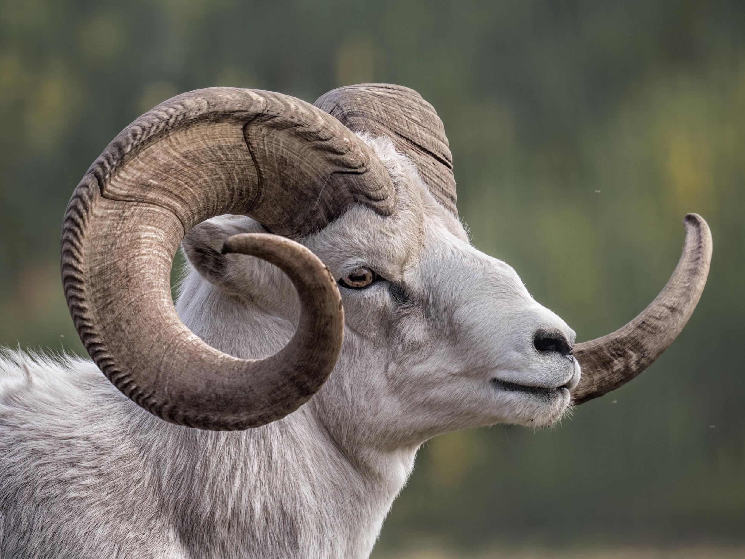 Dall sheep GX8.jpg