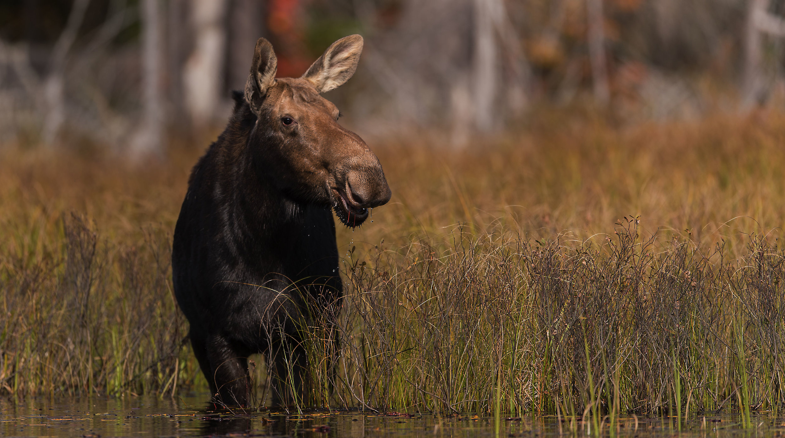 Moose image by Kevin K Pepper