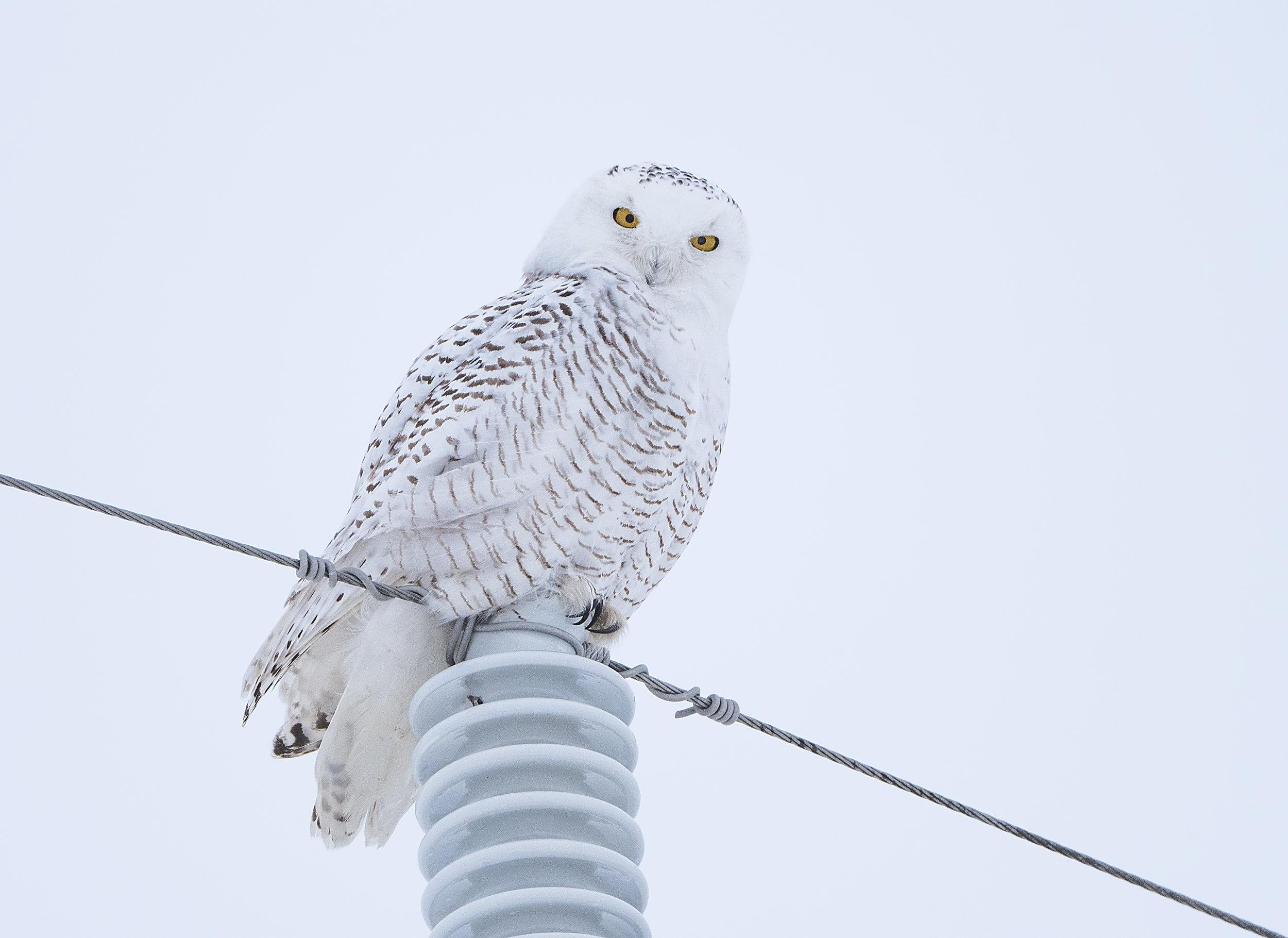 snowy on a pole .jpg