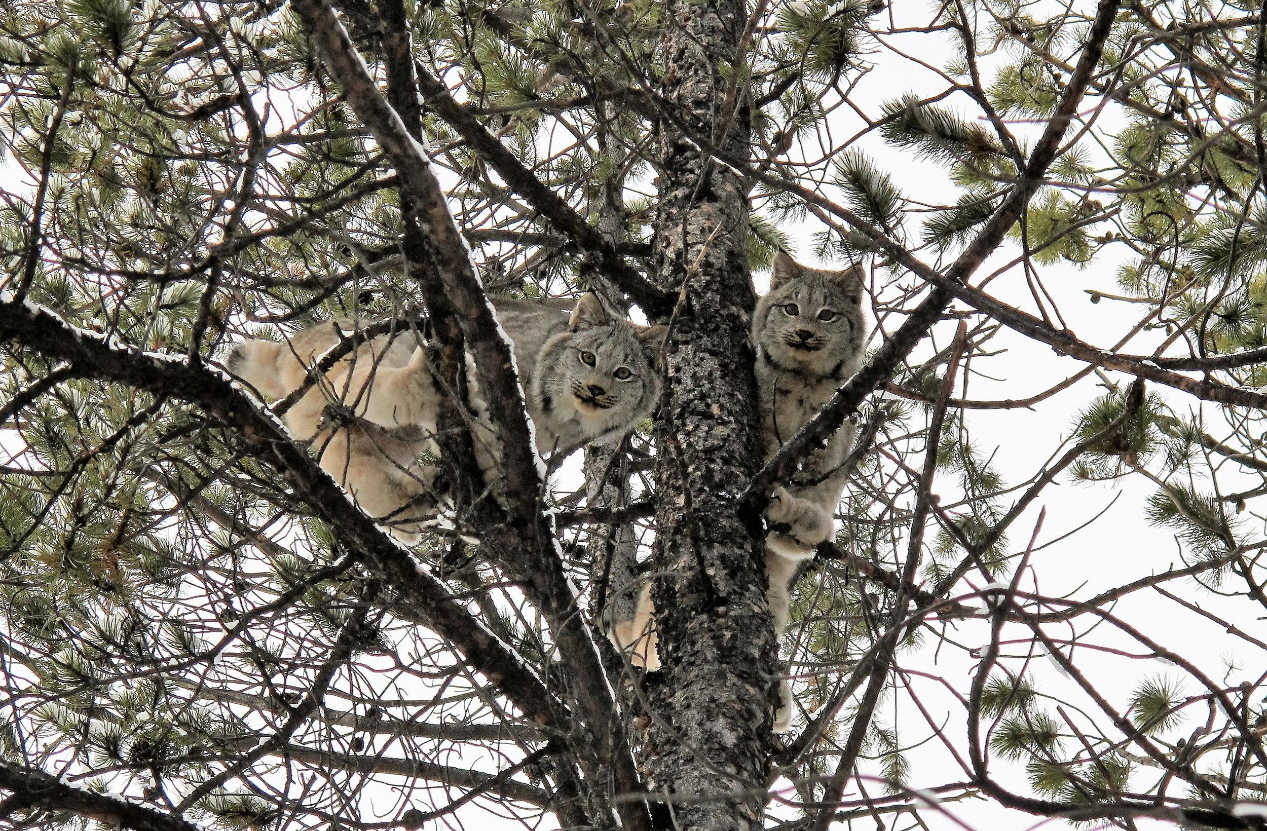 two lynx in a tree.jpg