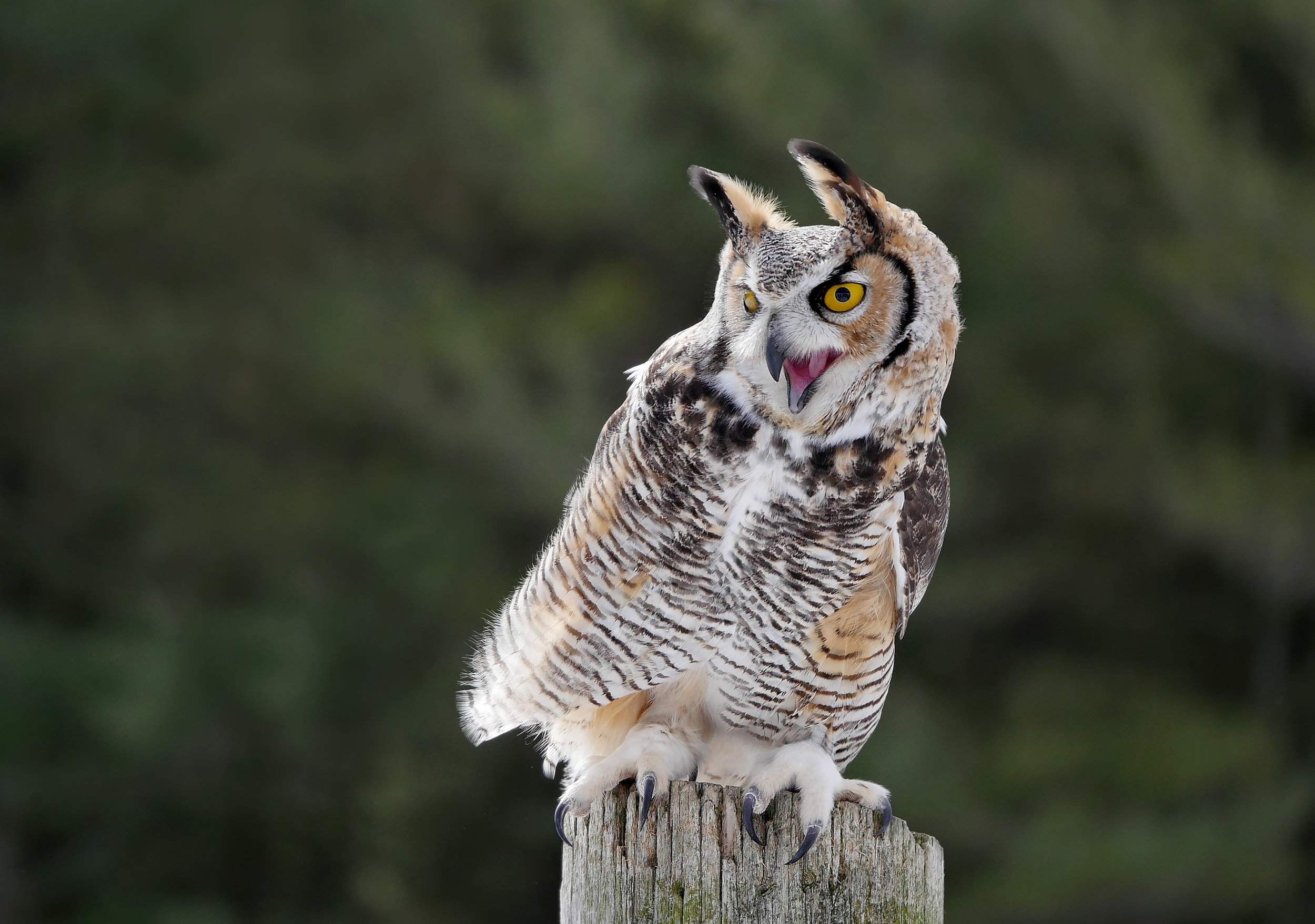 Great Horned Owl 100-400 GH4.jpg