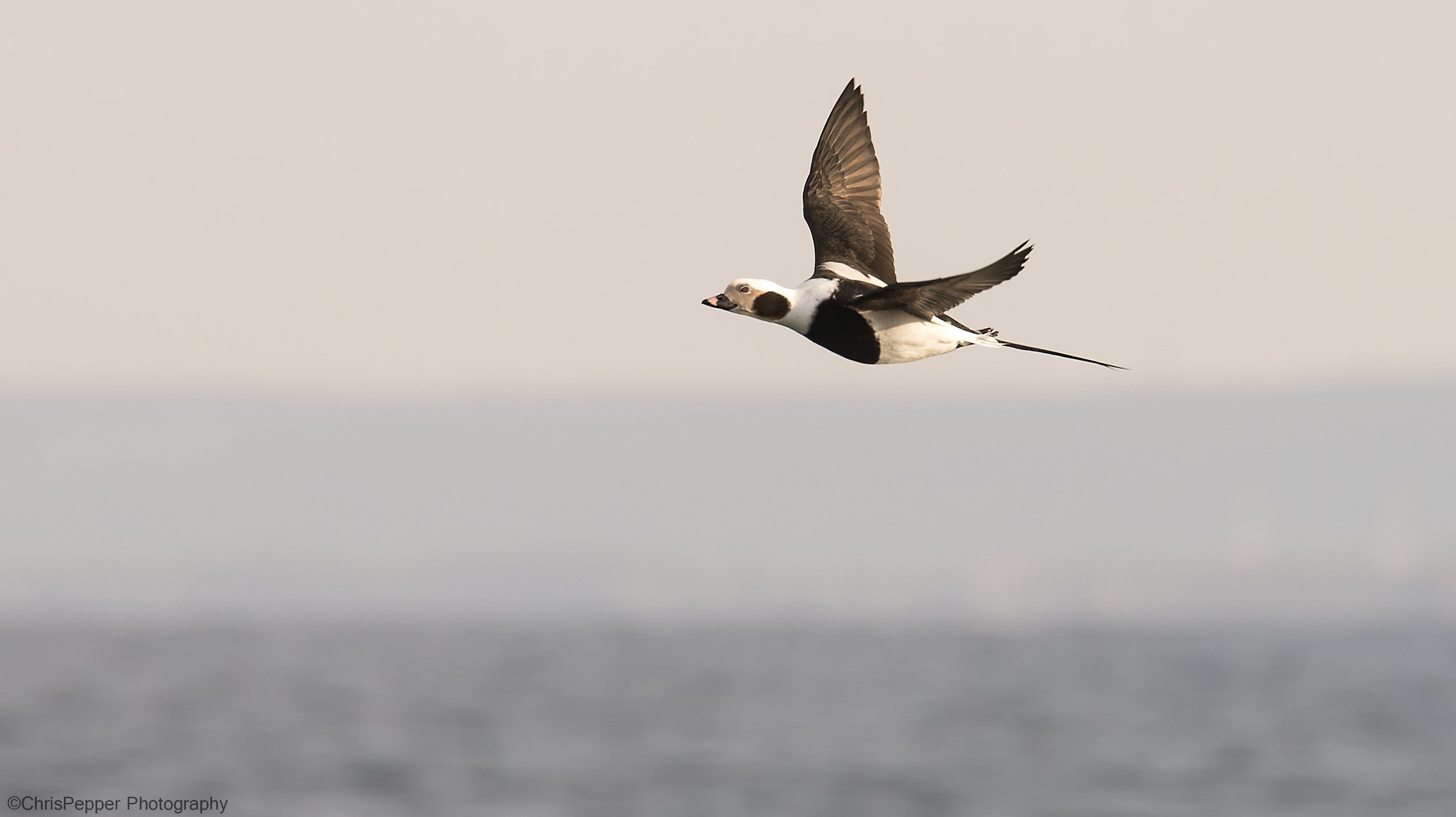 Long tail duck.jpg