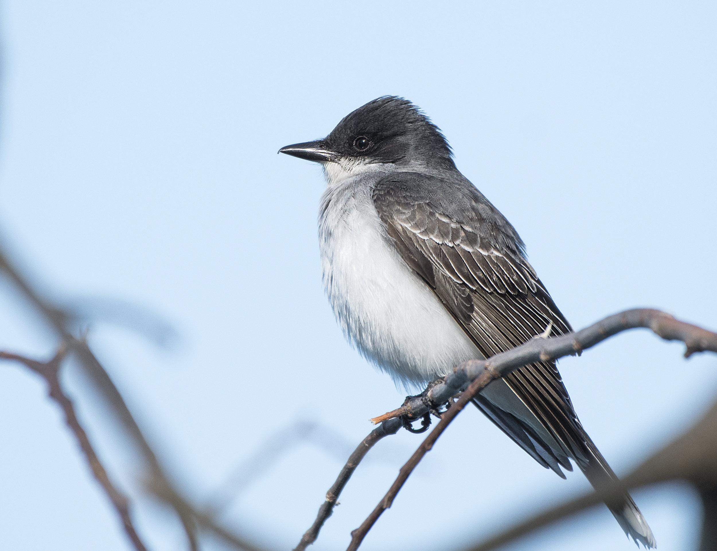 Eastern Kingbird.jpg