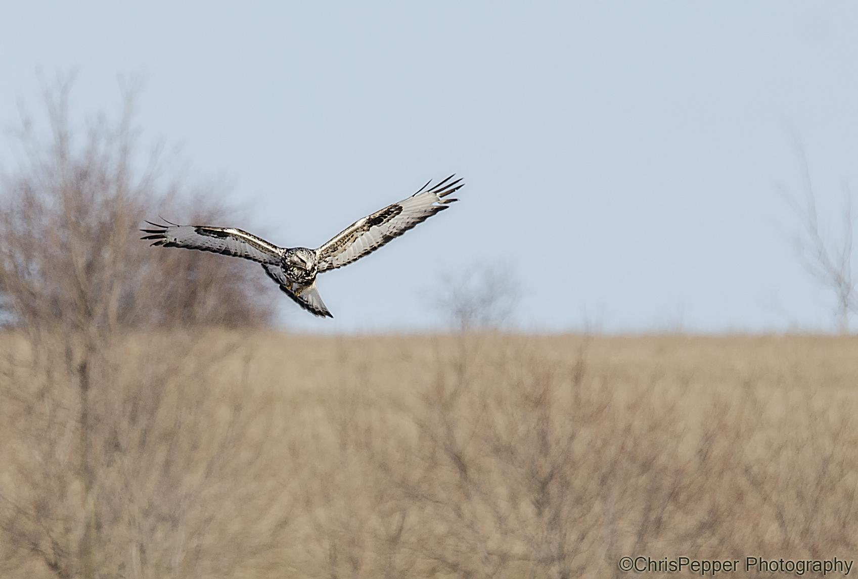 hawk in the field.jpg