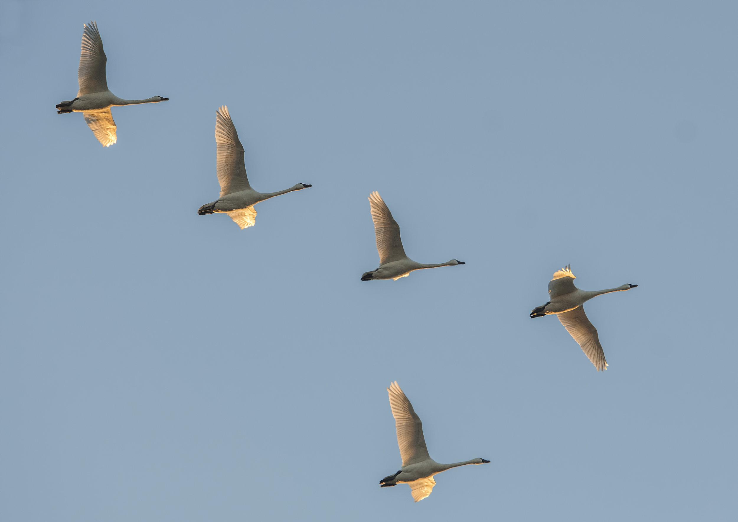 over head swans.jpg