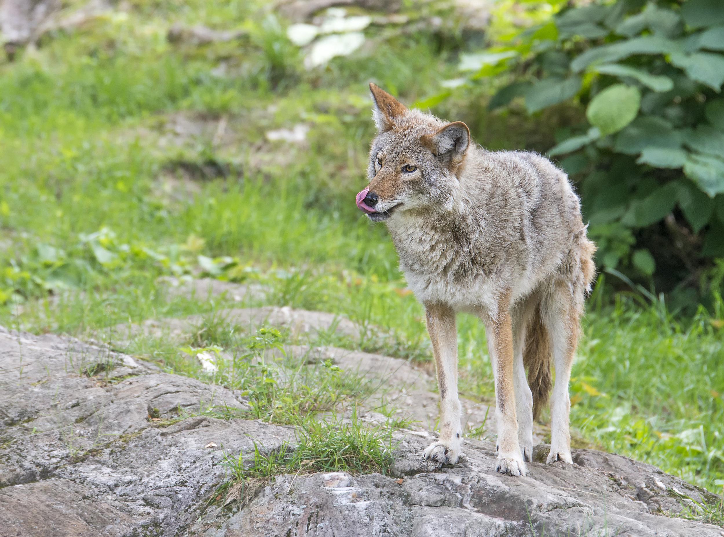 Cyote lip licker.jpg