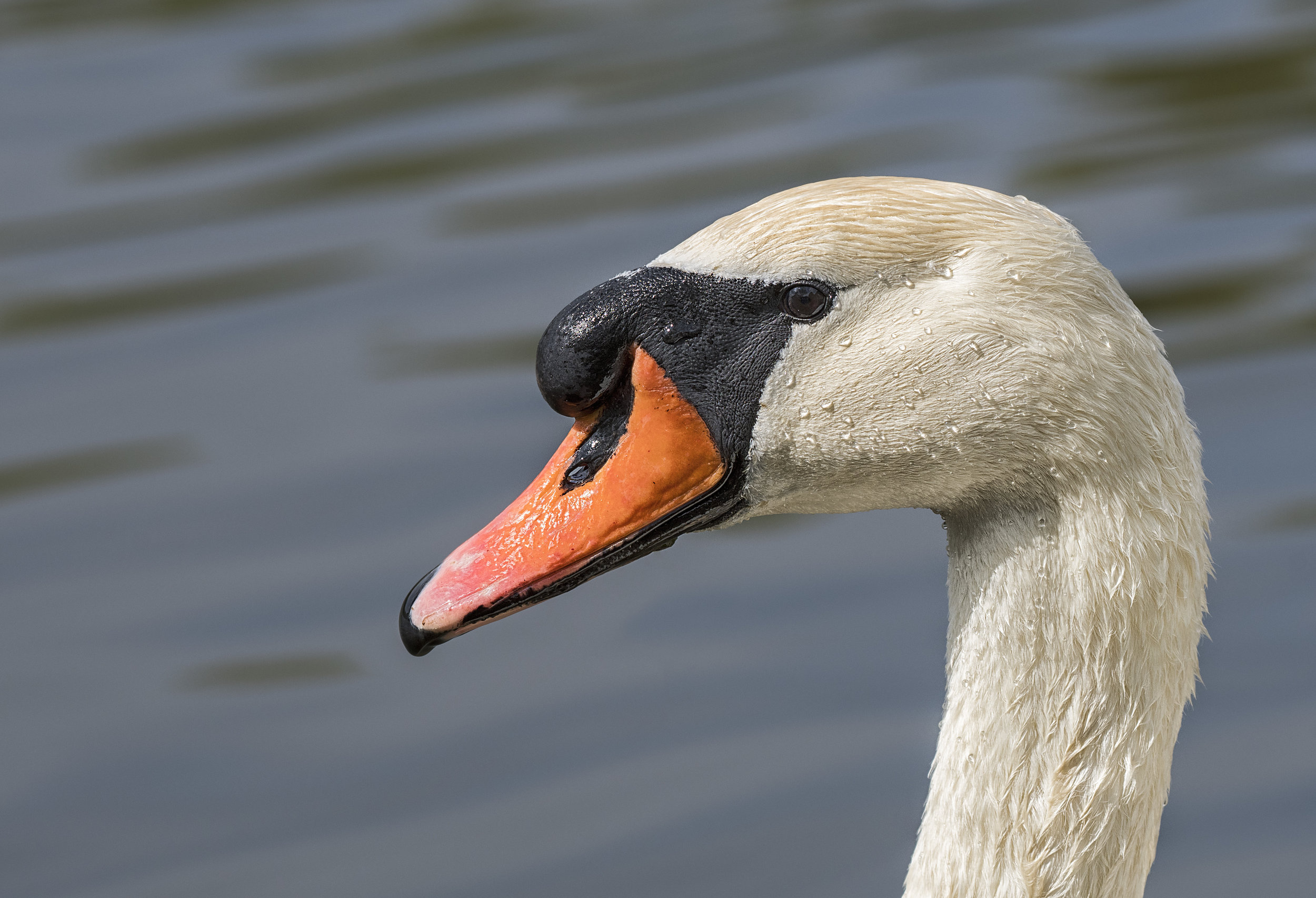 Swan profile nikon .jpg