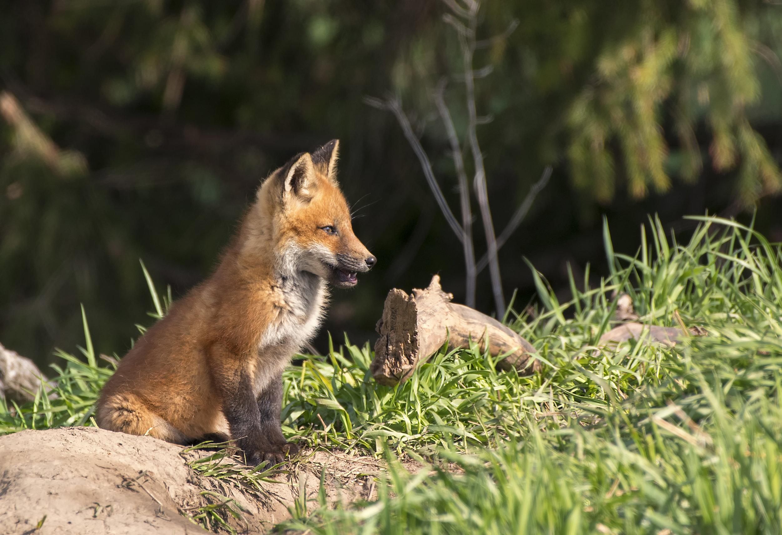 Sun Up fox kit.jpg