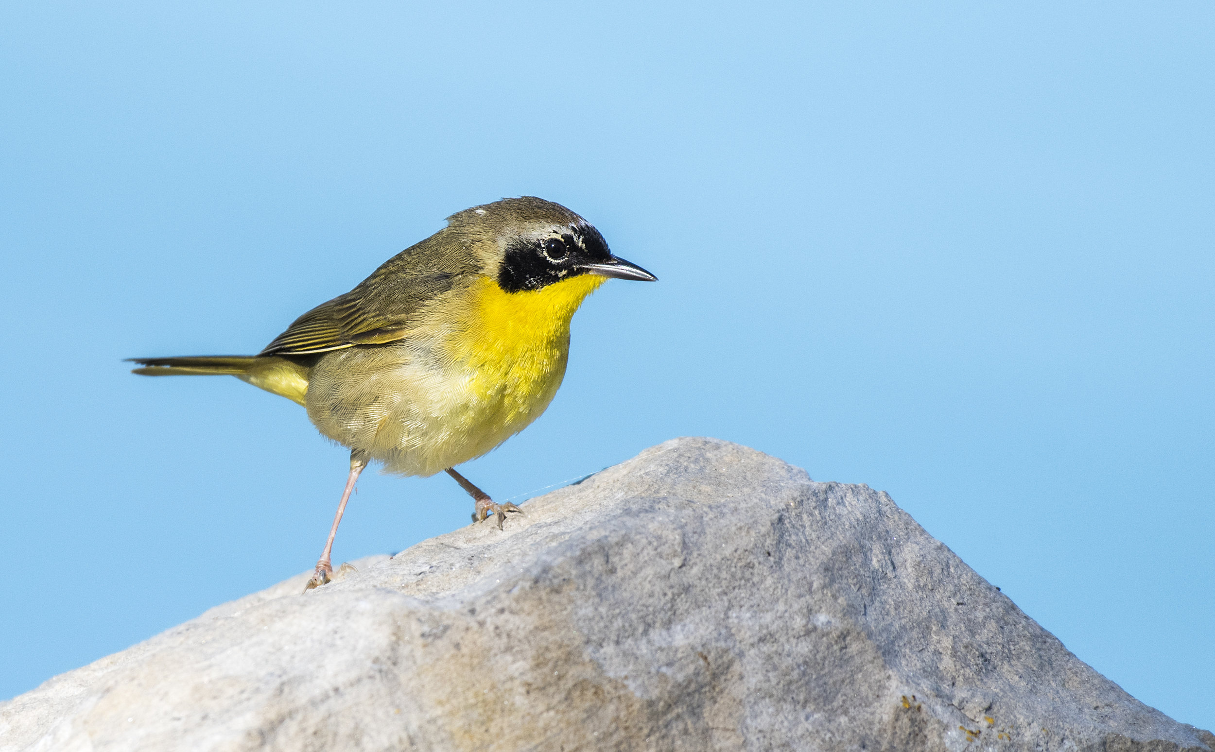 common yellowthroat.jpg