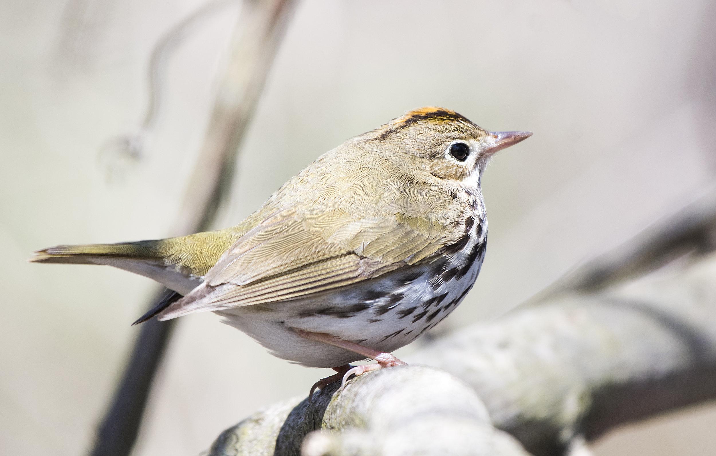 Oven bird.jpg