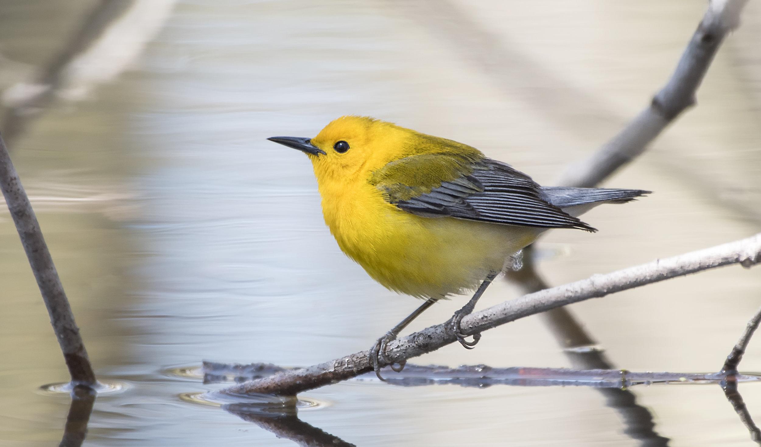 Prothonatary Warbler.jpg