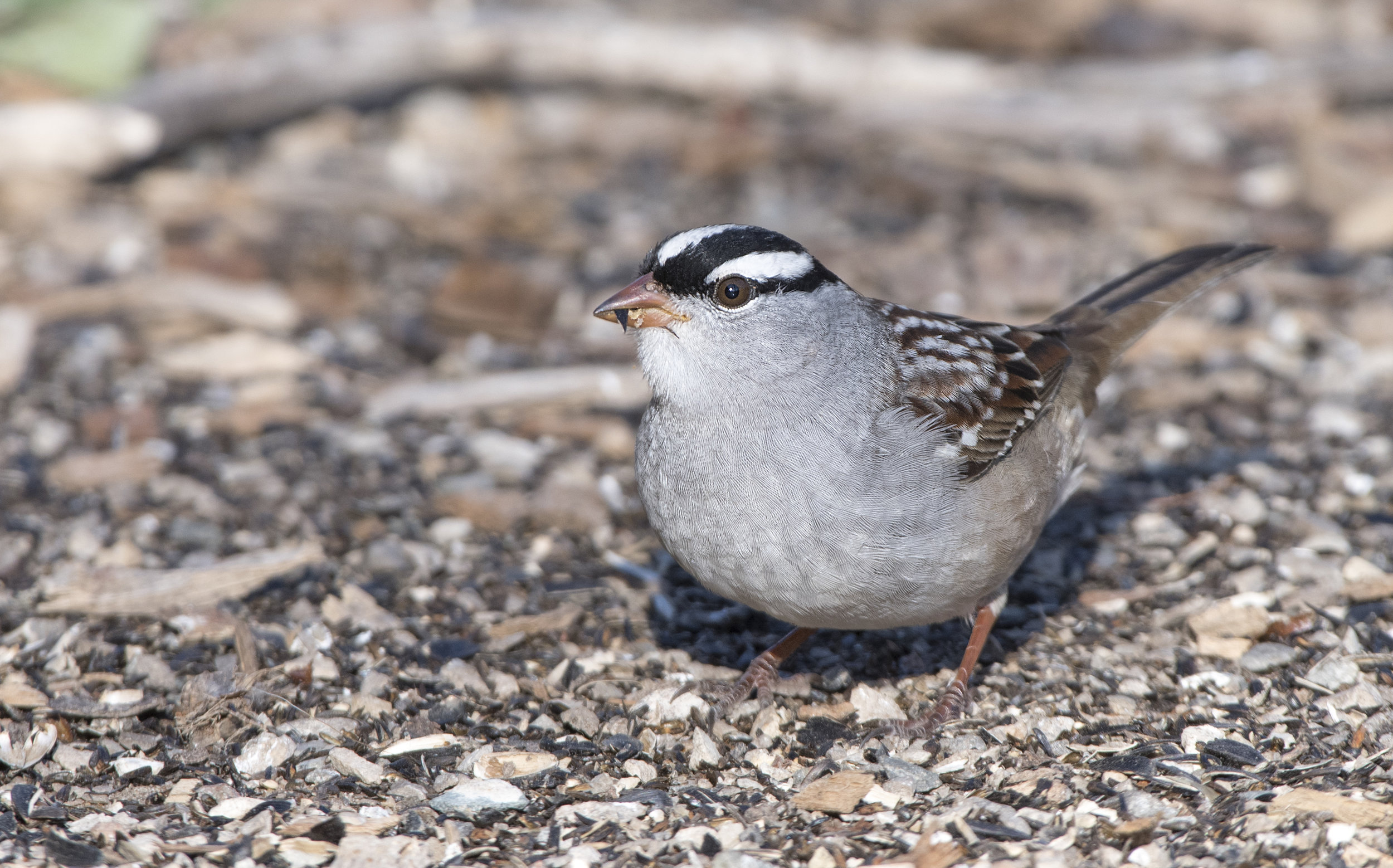 White crowned sparrow.jpg
