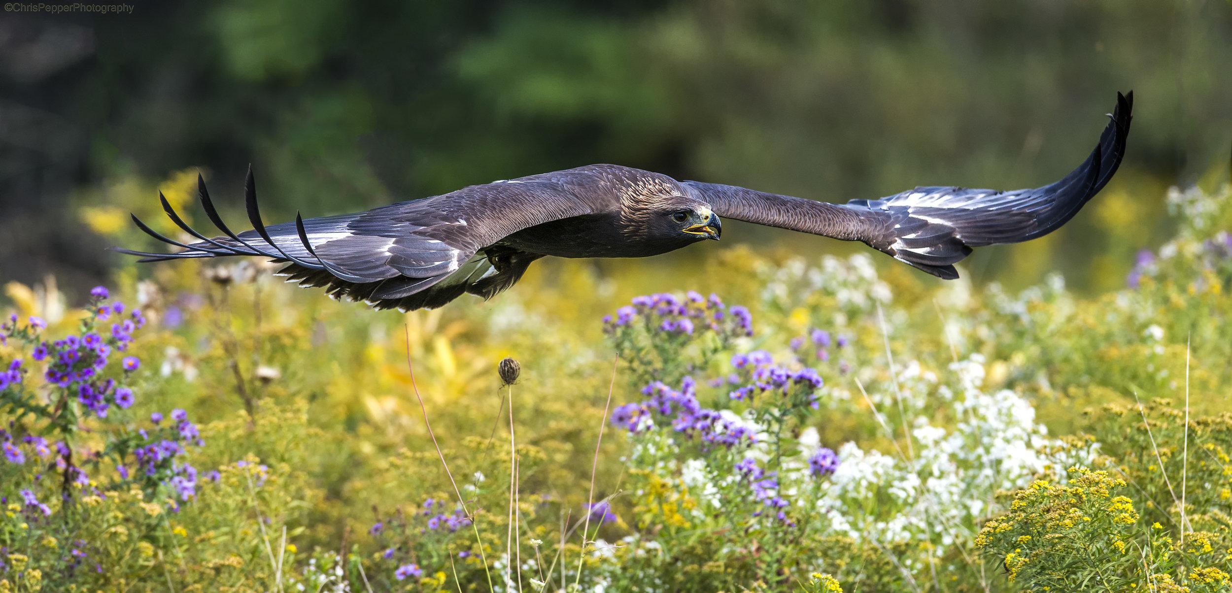 Golden eagle Chris Pepper