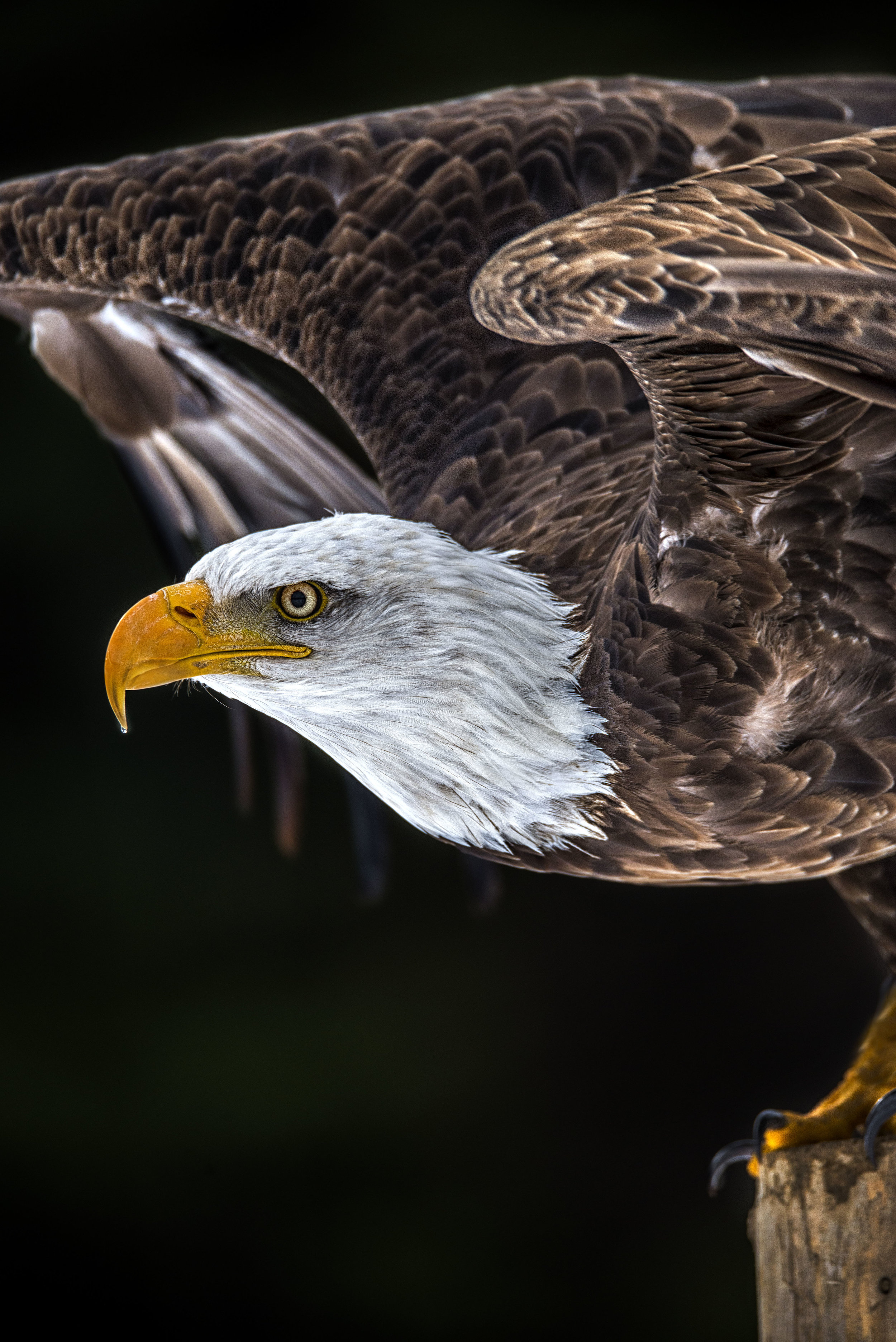 portrait bald eagle.jpg