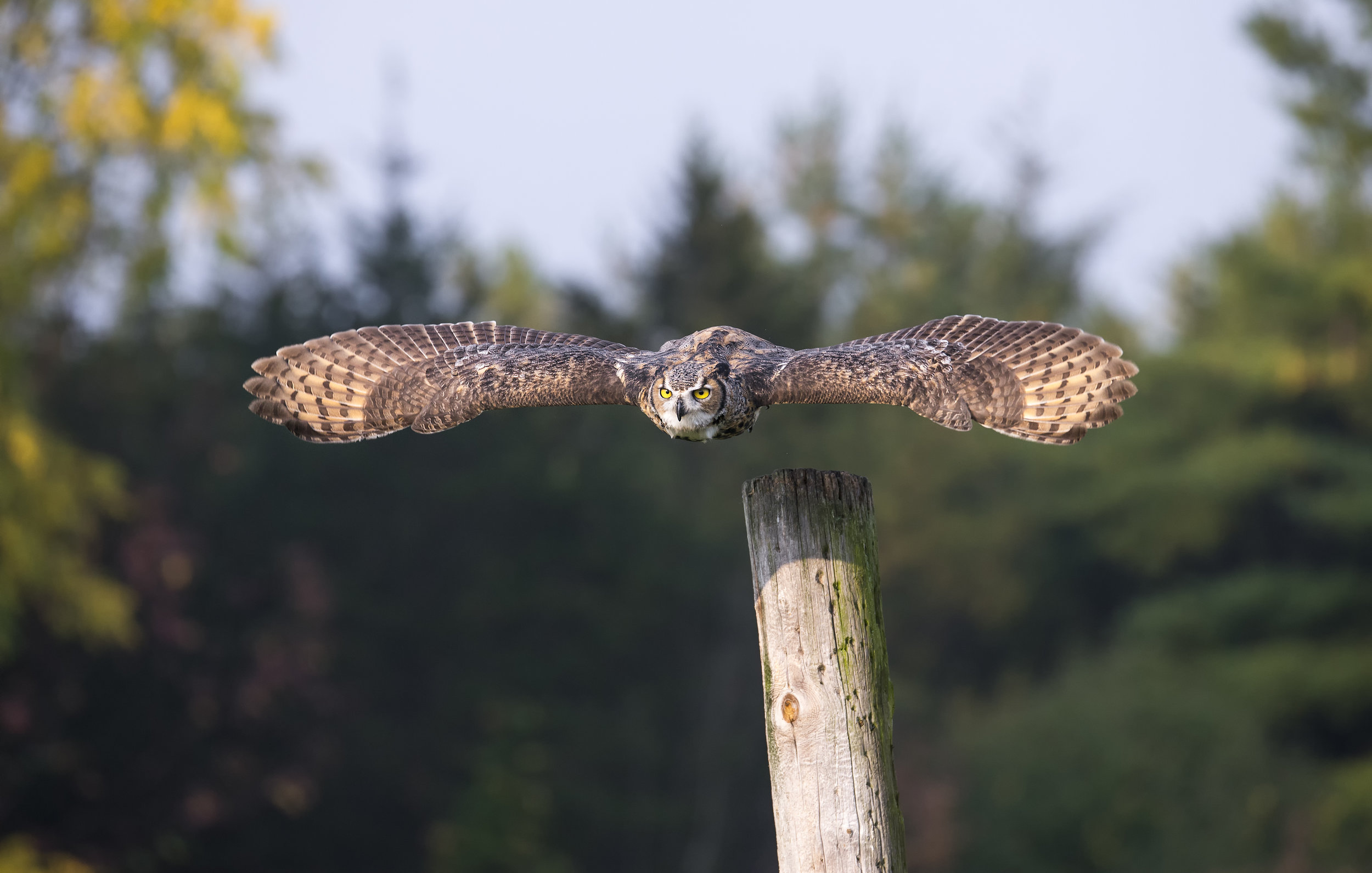 great horned take off flight.jpg
