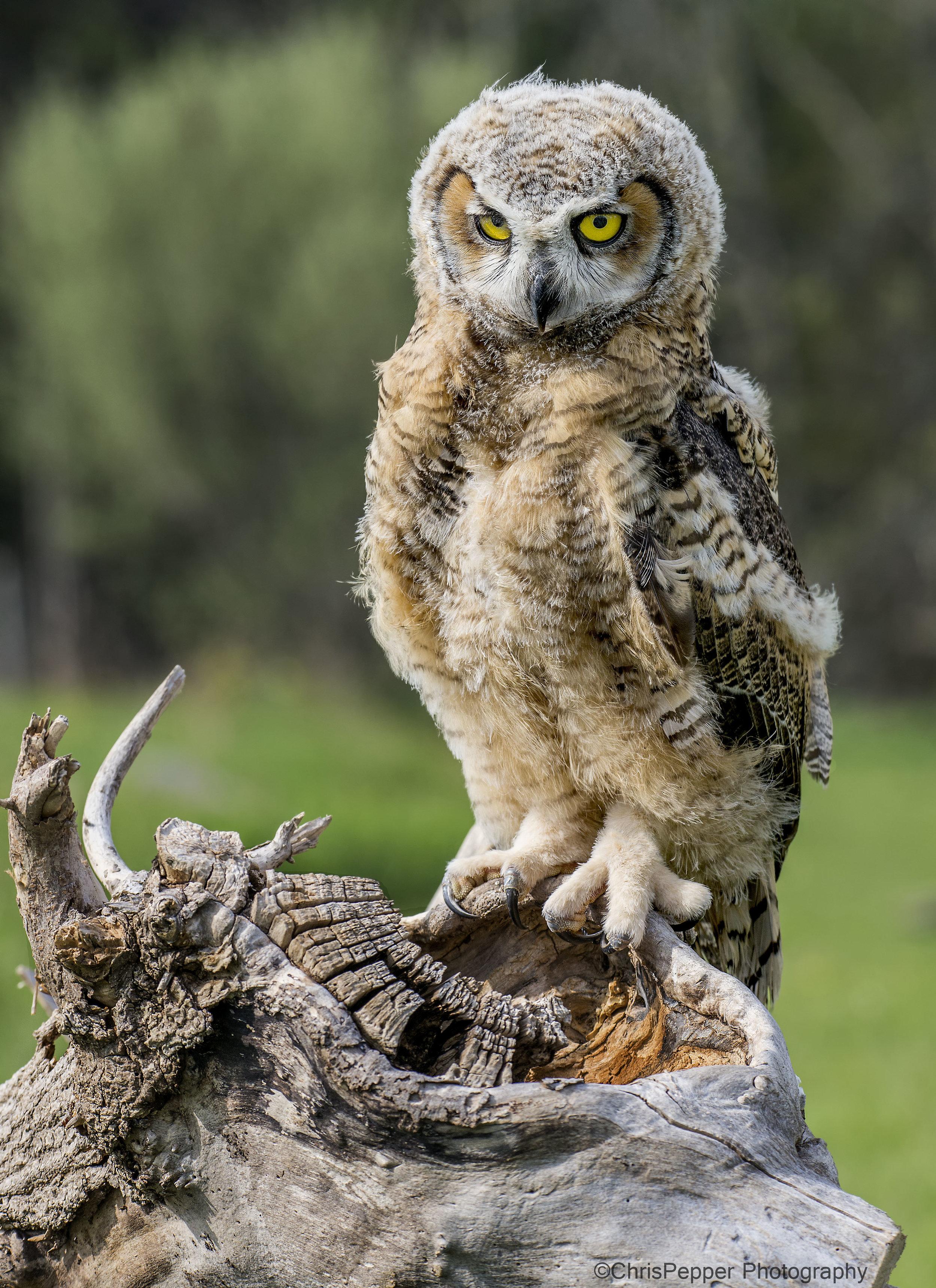 7 week old great horned owl.jpg