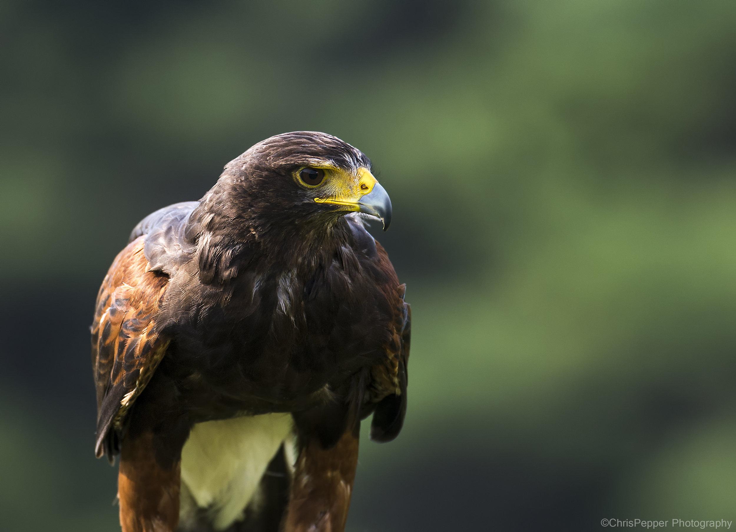 Broadwing hawk.jpg