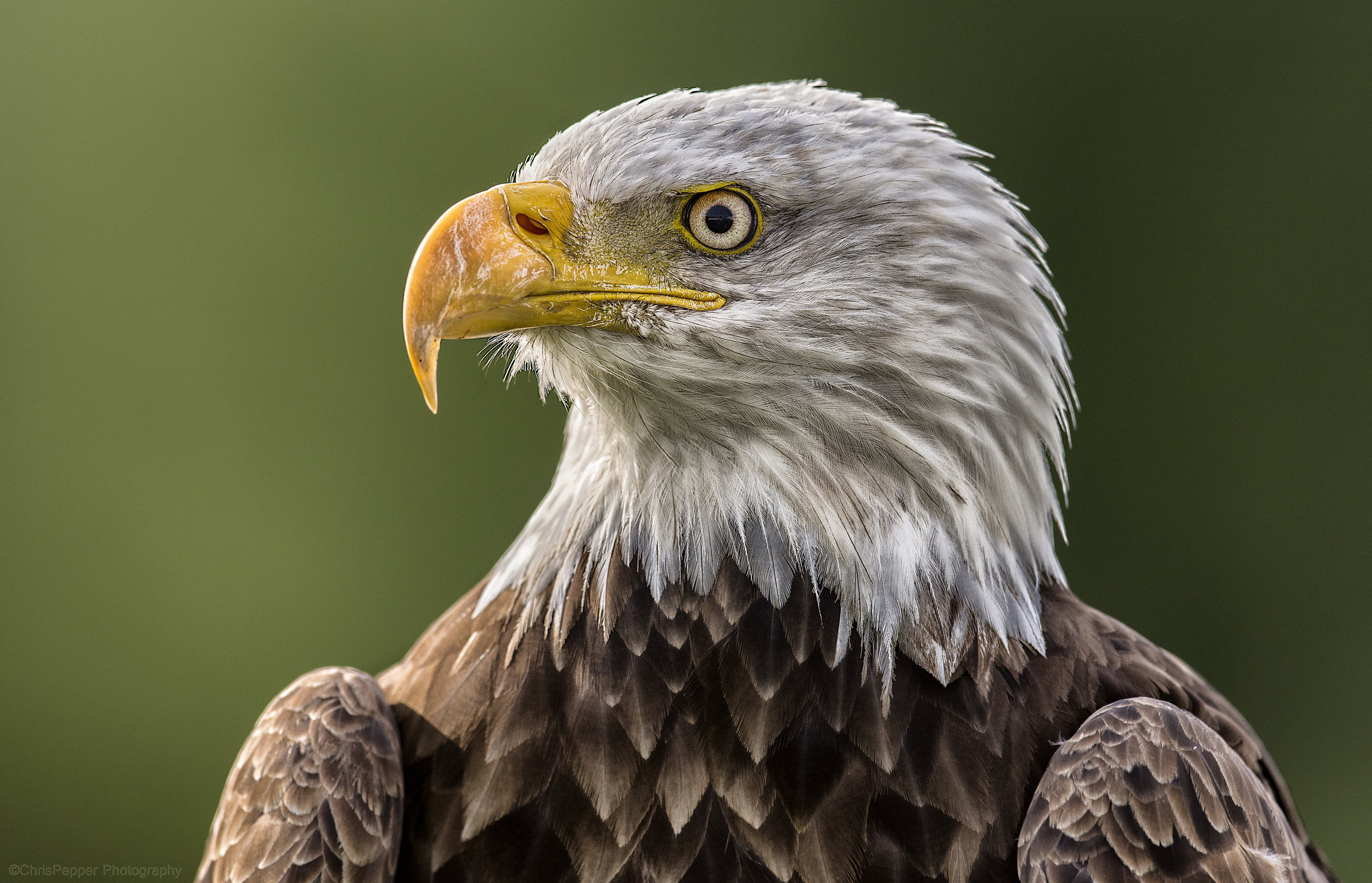 bald eagle september session.jpg