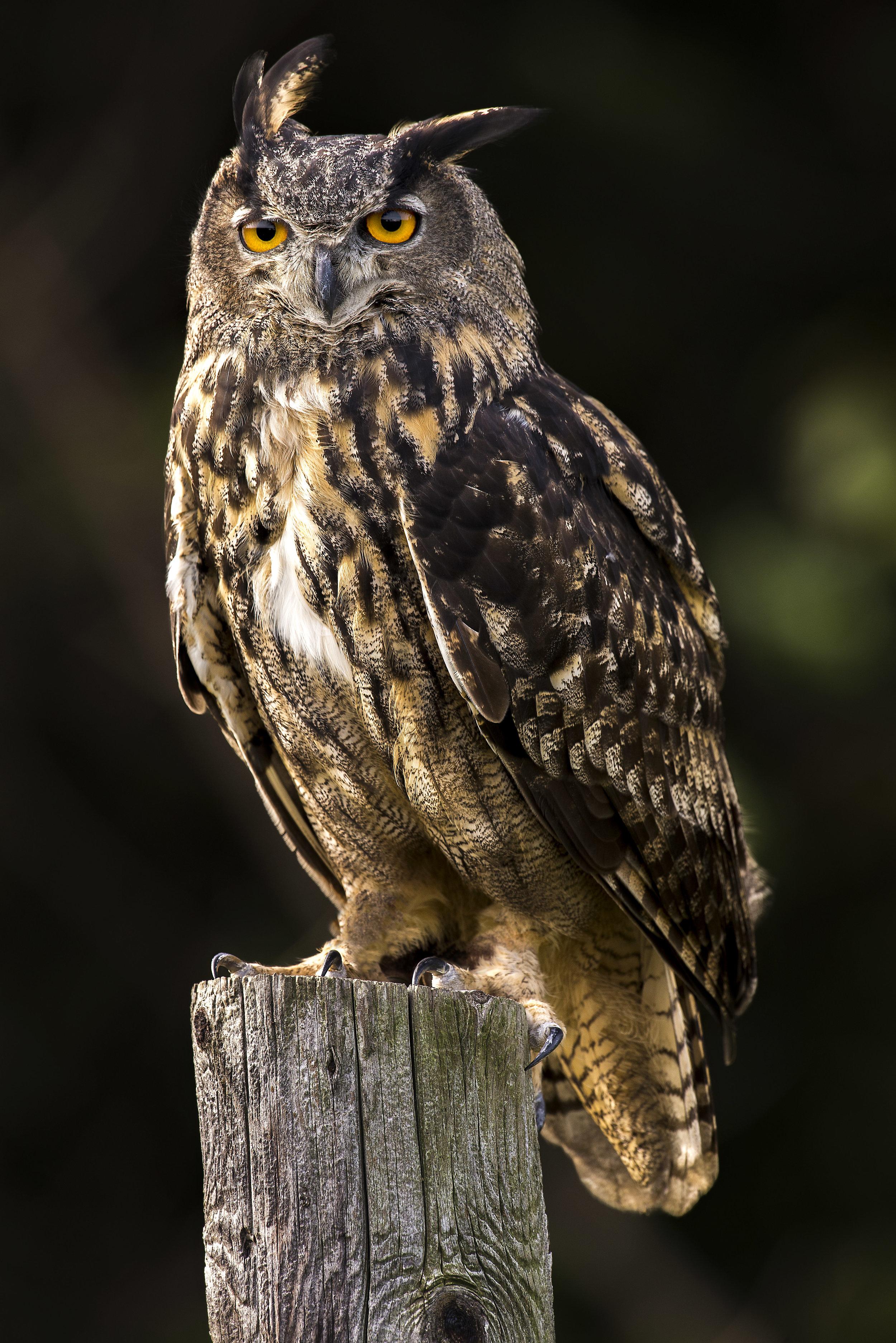 Eurasion eagle owl Sept 26.jpg